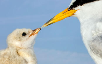 Photo of a Least Tern touching its beak to its chick's beak. Photo: Jim Verhagen/Audubon Photography Awards. Least Terns. Jim Verhagen/Audubon Photography Awards
