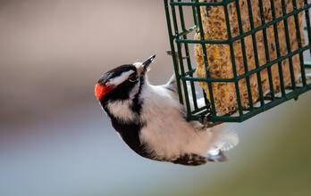 Downy Woodpecker. Layne V. Naylor/Shutterstock