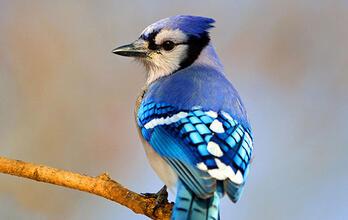 Become an Audubon Member