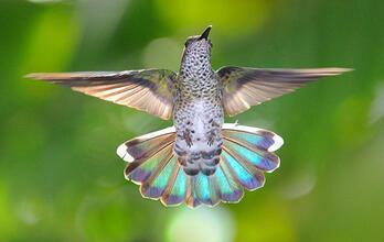 Whitenecked Jacobin Female. Caption: Whitenecked Jacobin female Photo: Leslie Scopes Anderson/Audubon Photography Awards