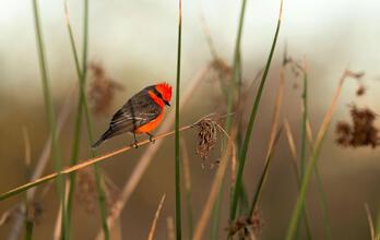 Vermilion Flycatcher. Sandrine Biziaux-Scherson/Audubon Photography Awards