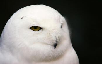 Snowy Owl. Snowy Owl. Becky Lundeen/Audubon Photography Awards