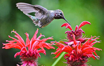Anna's Hummingbird. Anna's Hummingbird Stephen Benzon/Audubon Photography Awards