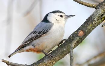 White-breasted Nuthatch. White-breasted Nuthatch. Zach Slavin/Audubon
