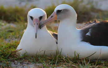 Wisdom the Laysan Albatross with mate | Kiah Walker/USFWS