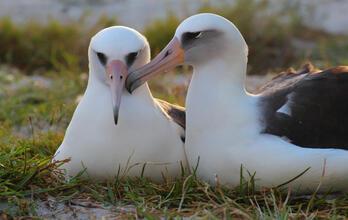 Wisdom the Laysan Albatross with mate | Kiah Walker/USFWS