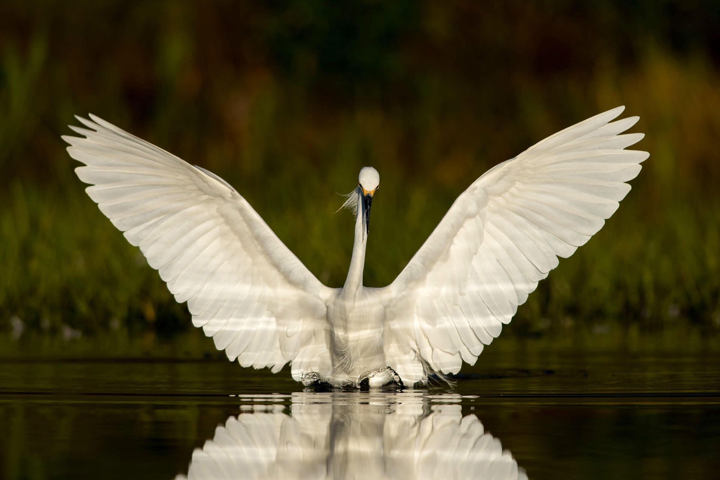 Snowy Egret/Amateur Category. Peter Brannon/Audubon Photography Awards