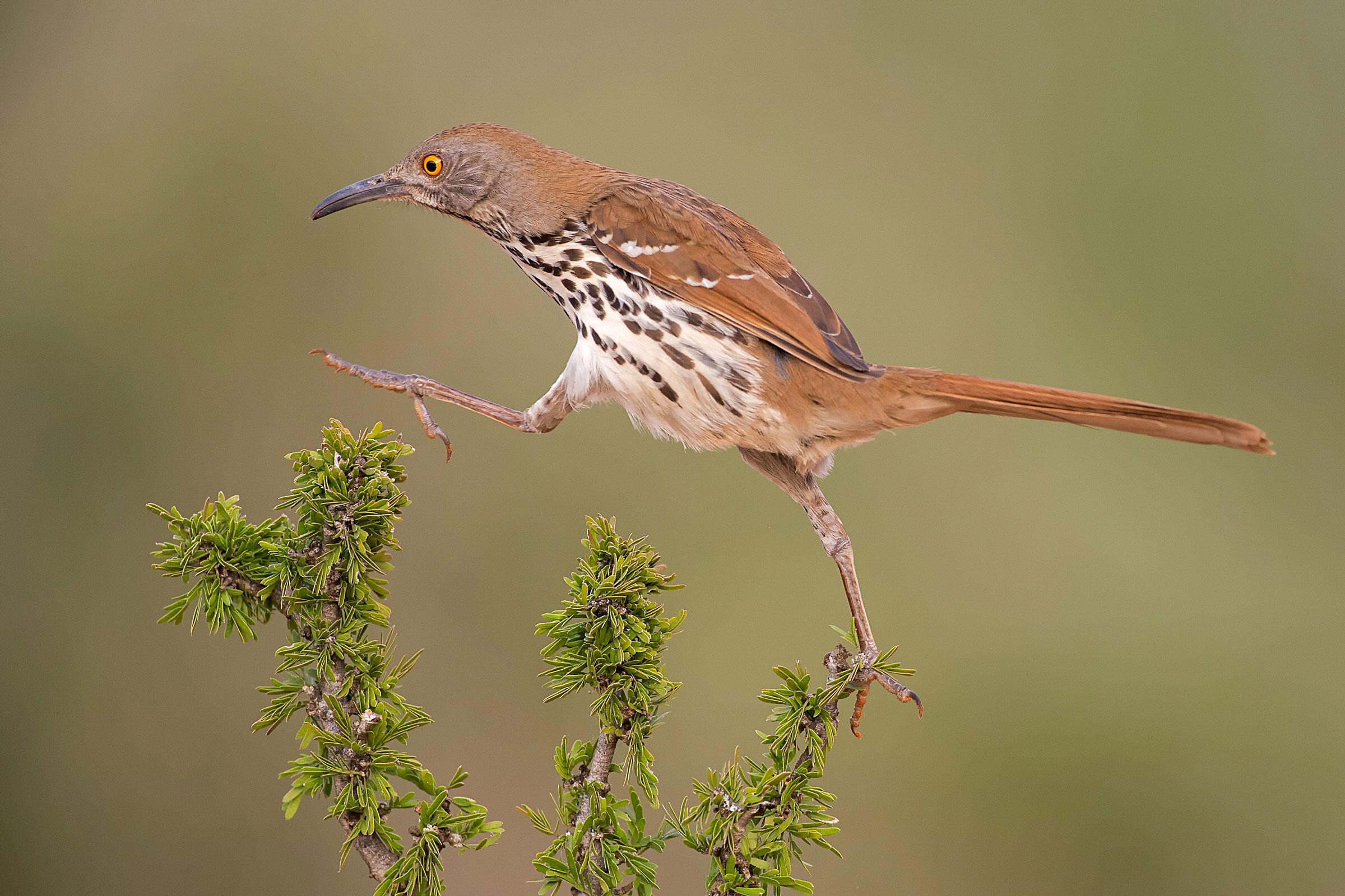 Long-billed Thrasher/Professional Category. Hector Astorga/Audubon Photography Awards