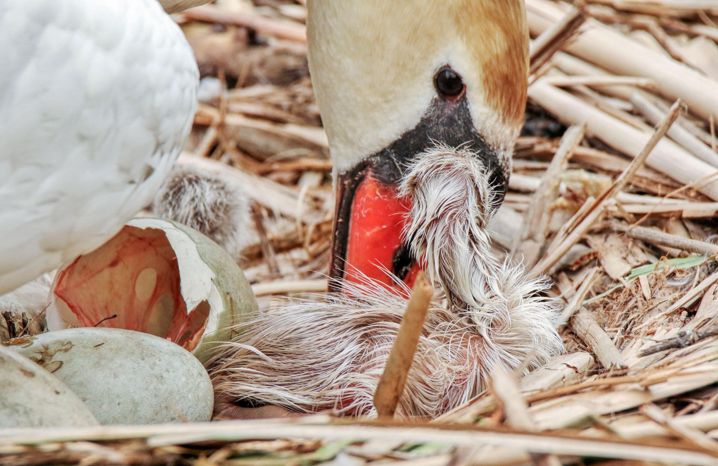 Mute Swans/Amateur Category. Madeline Poster/Audubon Photography Awards