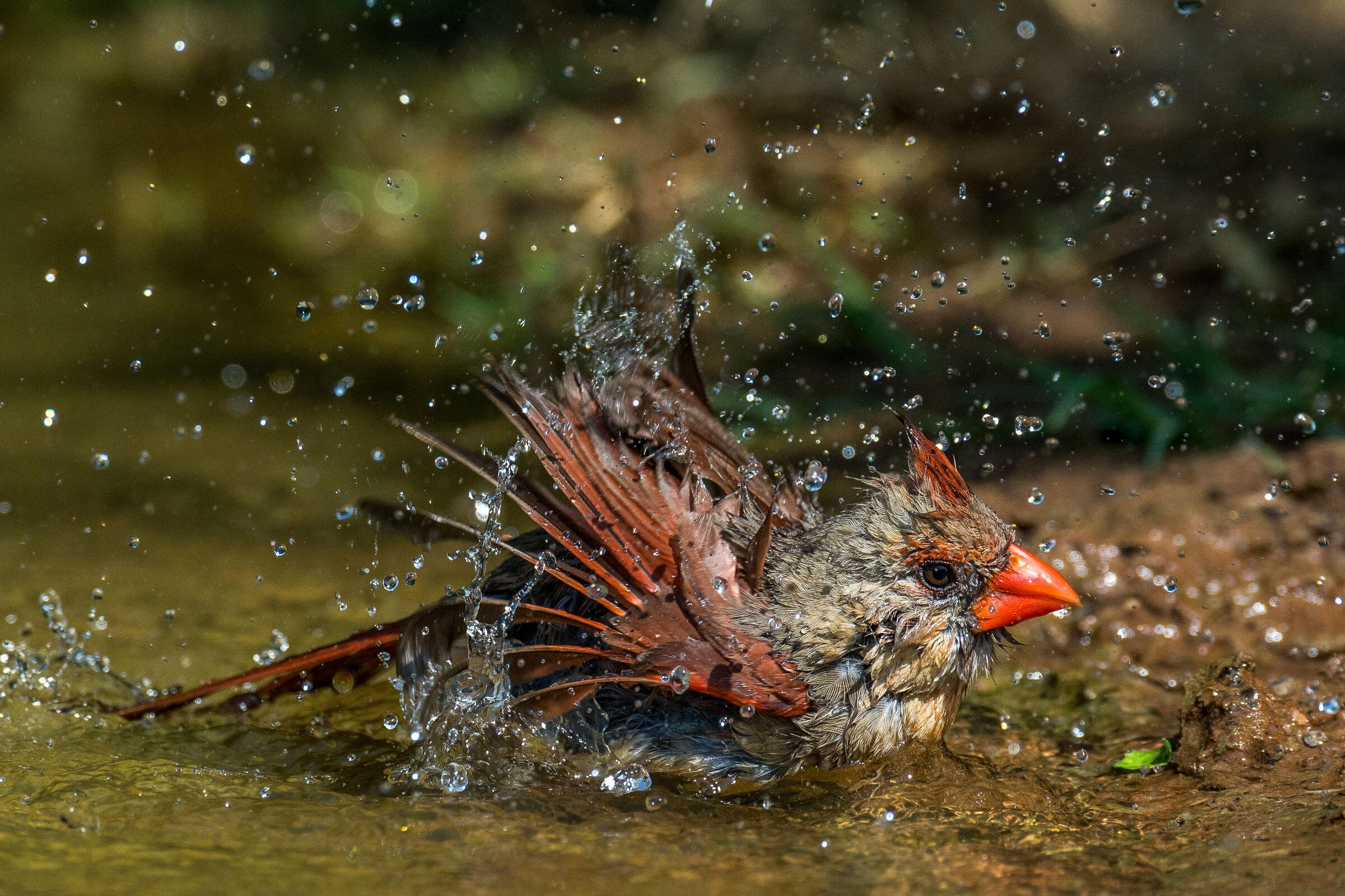 Northern Cardinal/Amateur Category. Richard Green/Audubon Photography Awards