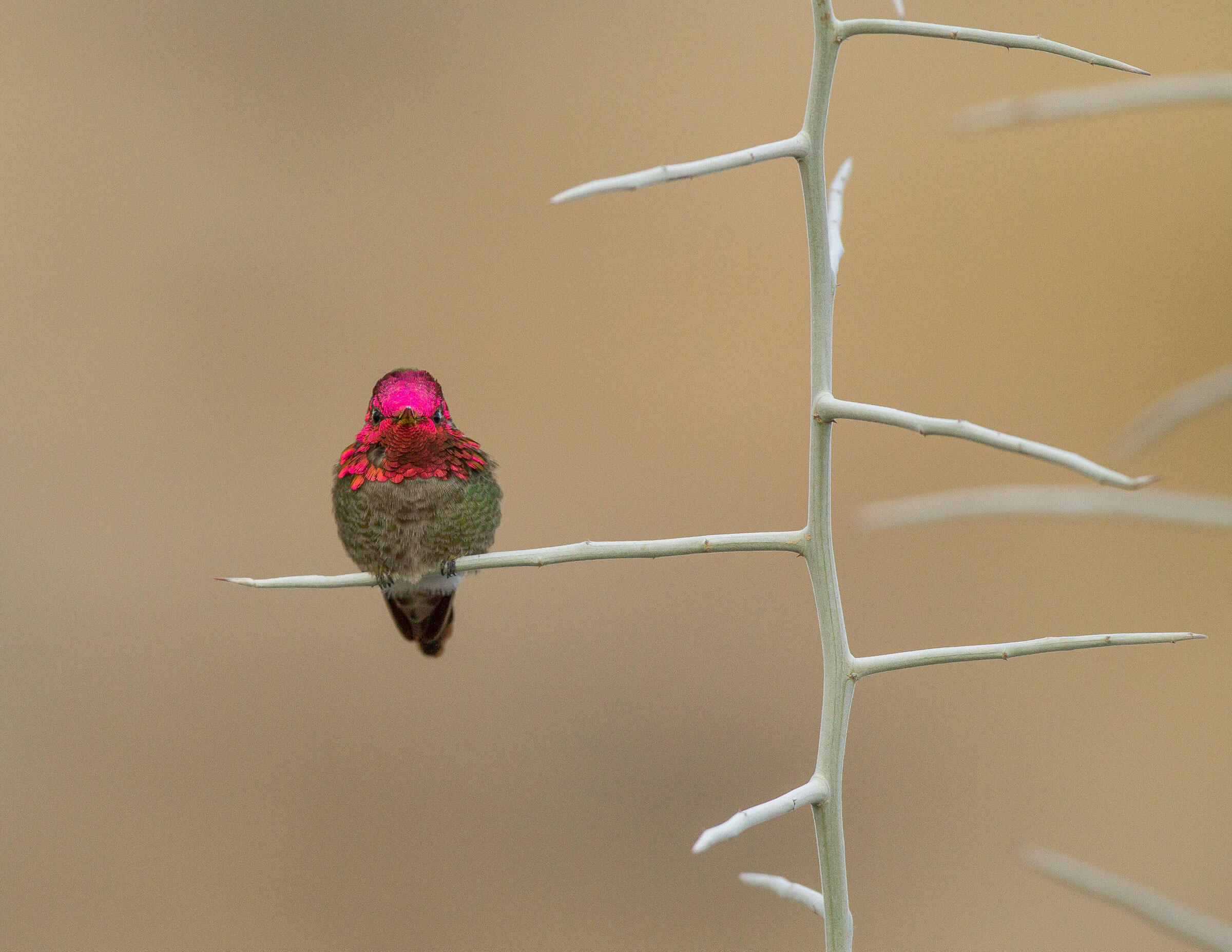 Anna's Hummingbird/Professional Category. Sarah Blodgett/Audubon Photography Awards