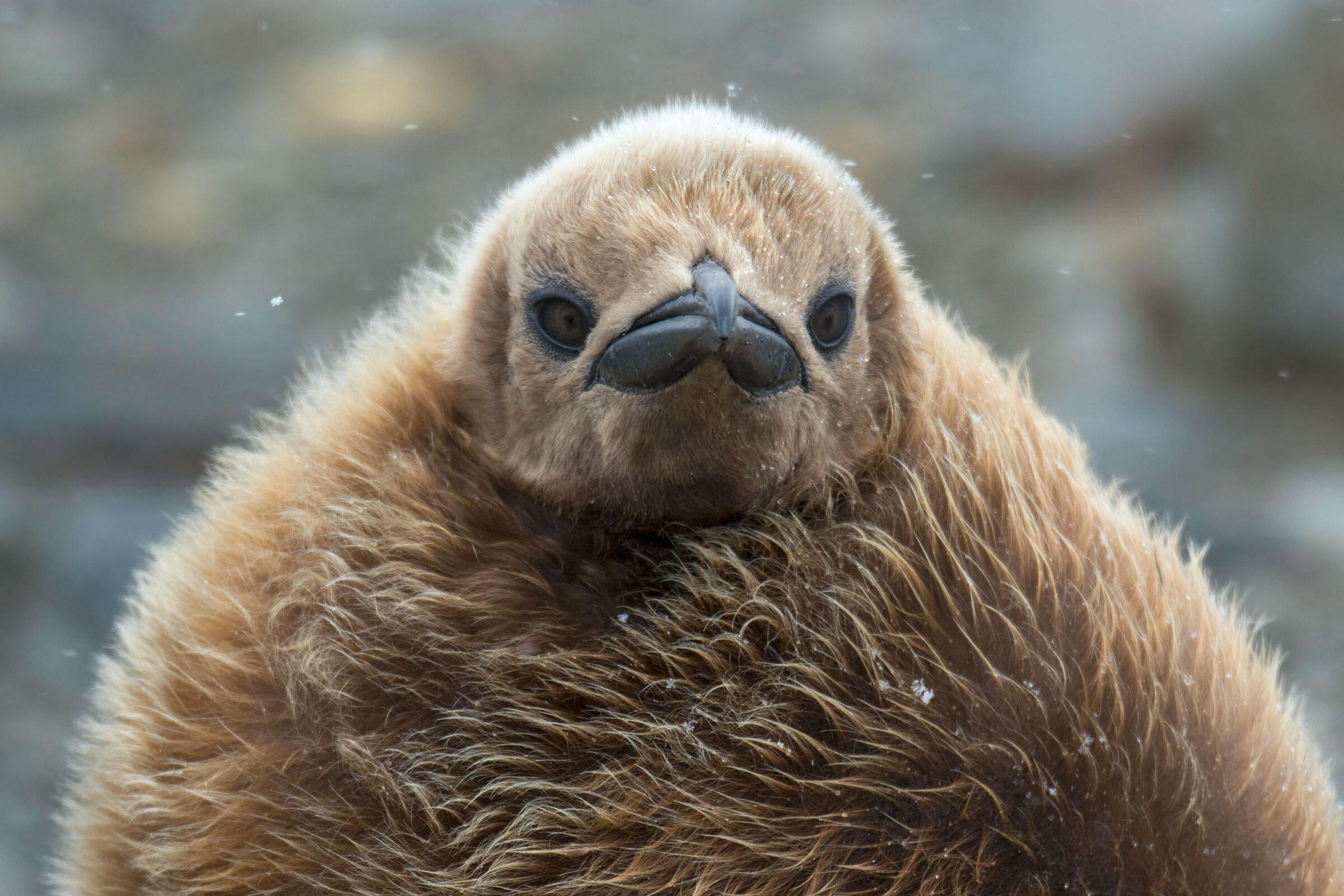 King Penguin/Amateur Category. Debra Herst//Audubon Photography Awards