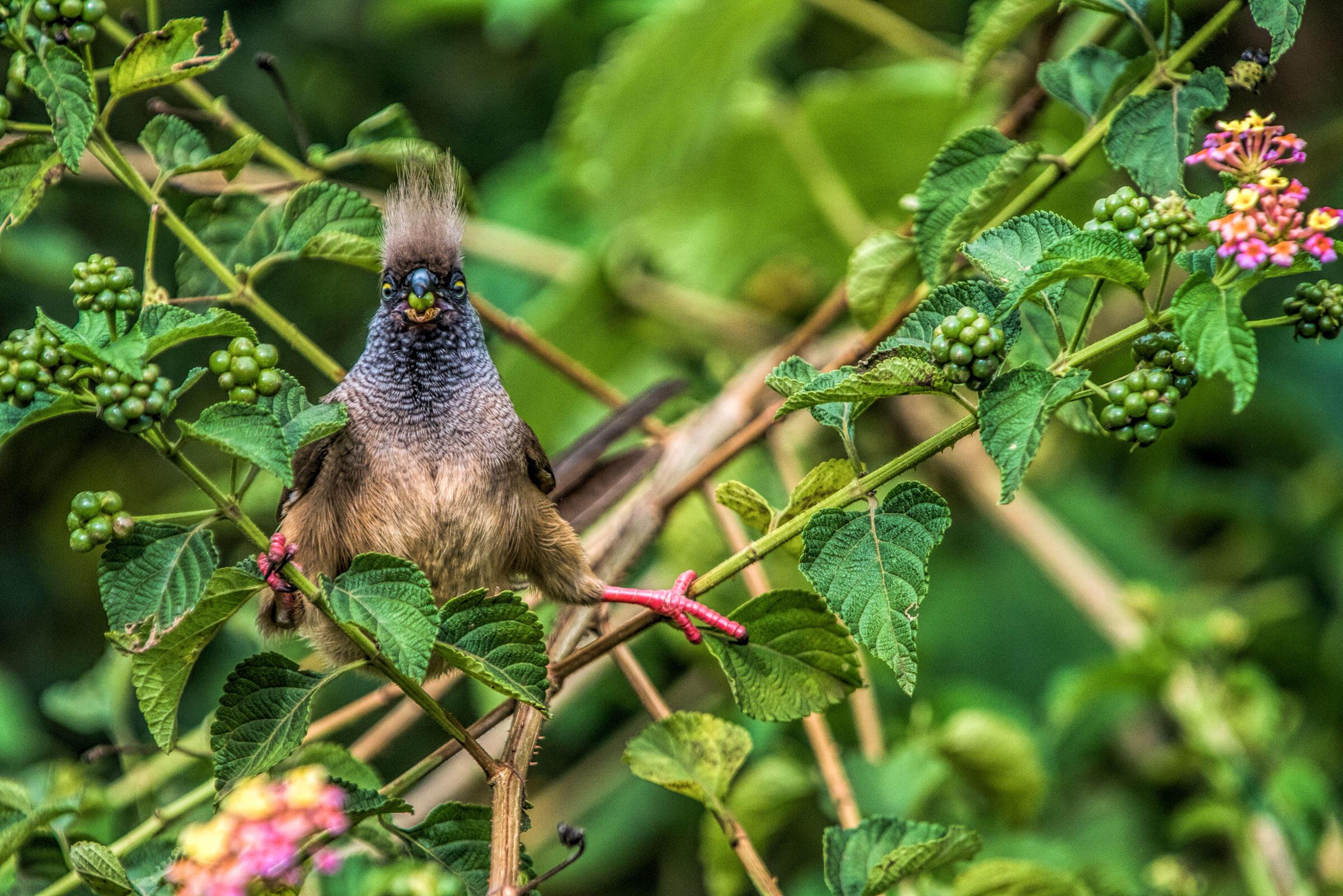 Speckled Mousebird/Amateur Category. Nancy Gaudino/Audubon Photography Awards