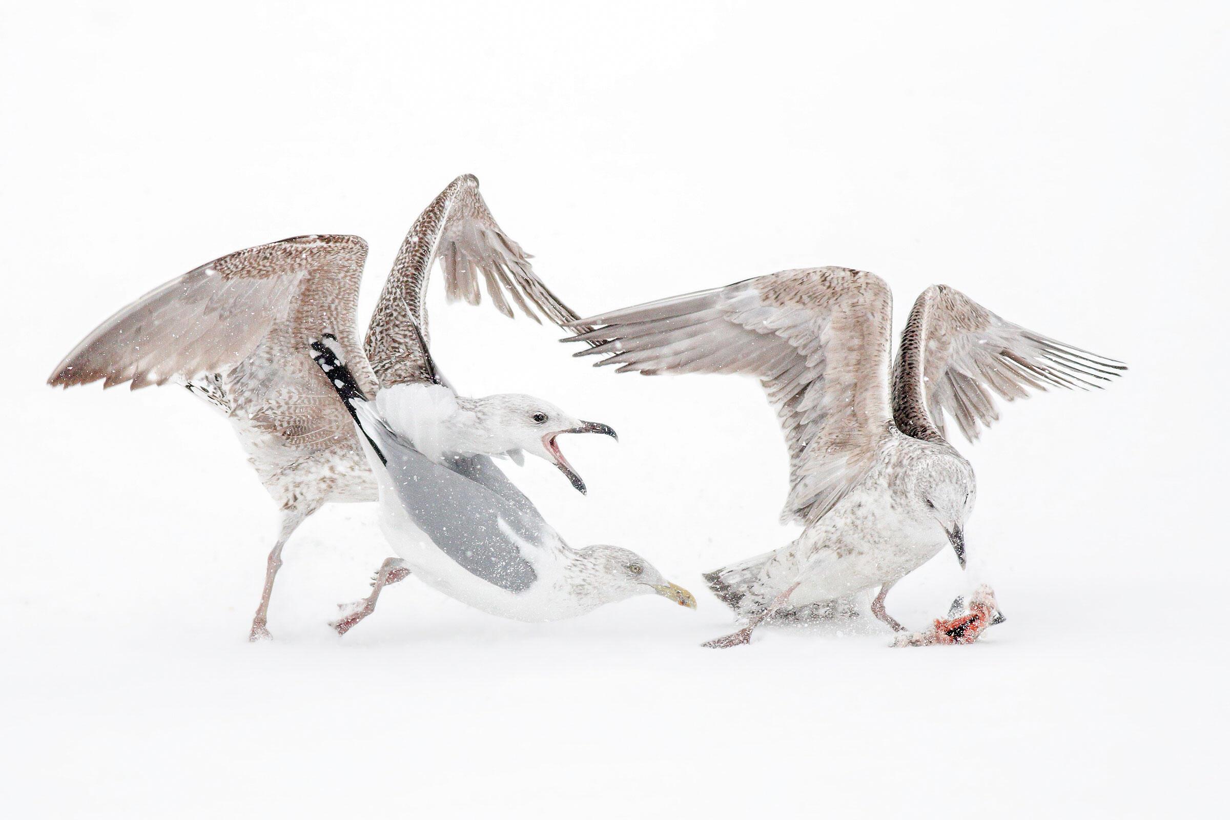 Juvenile Great Black-backed Gulls and Herring Gull/Amateur Category. Jonathan Kresge/Audubon Photography Awards