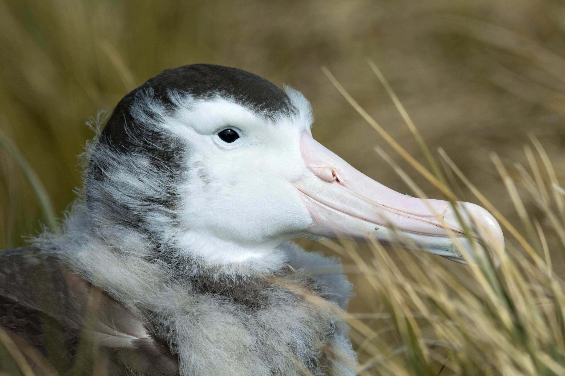Wandering Albatross/Amateur Category. Debra Herst/Audubon Photography Awards