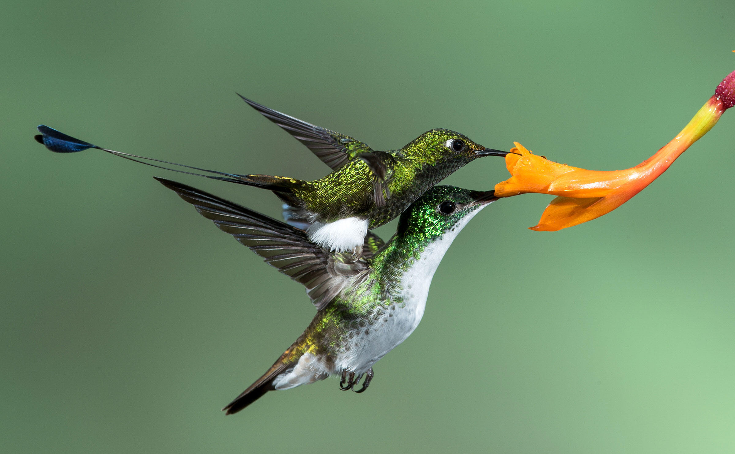 Booted Racket-tail and Andean Emerald/Amateur Category. Donald Dolga/Audubon Photography Awards