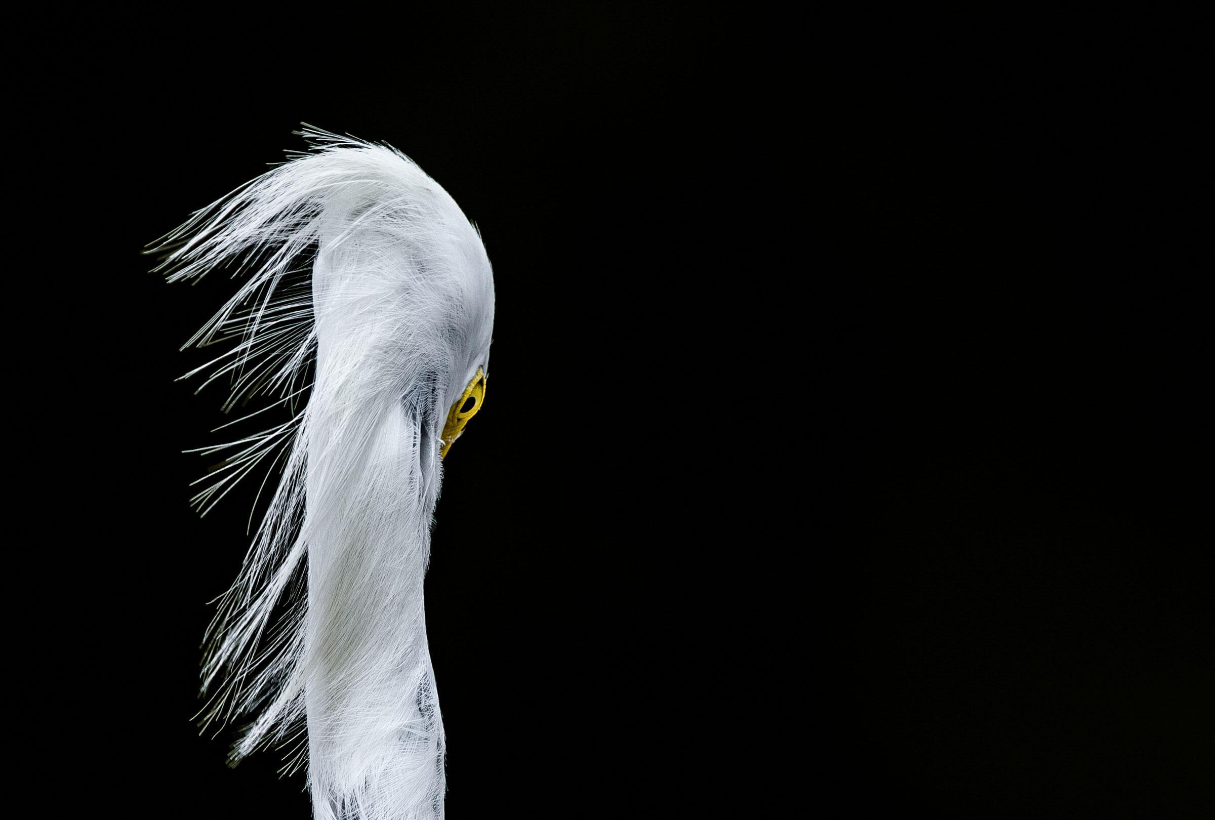 Snowy Egret/Amateur Category. Pasi Kaunisto/Audubon Photography Awards