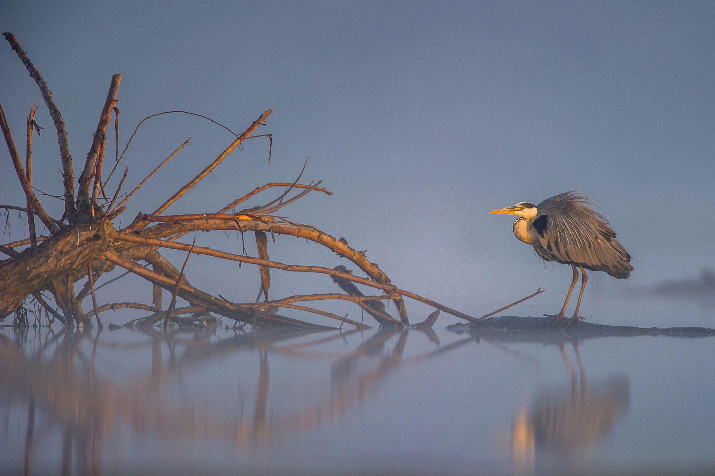 Grey Heron/Amateur Category. Artur Stankiewicz/Audubon Photography Awards