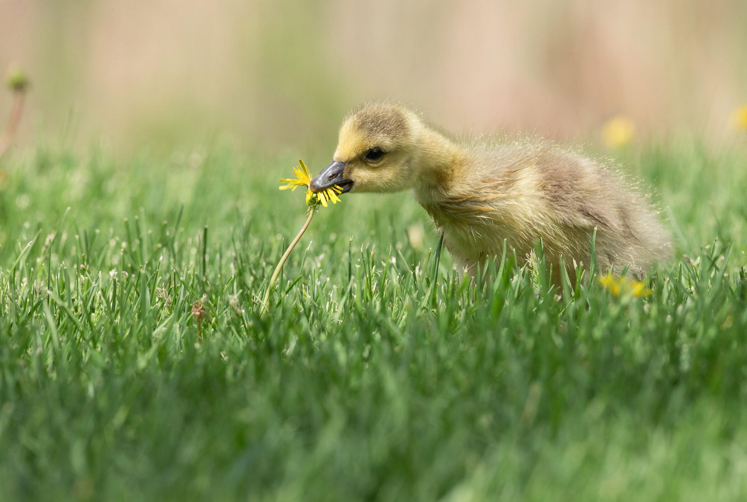 Canada Goose/Amateur Category. Barb D'Arpino/Audubon Photography Awards