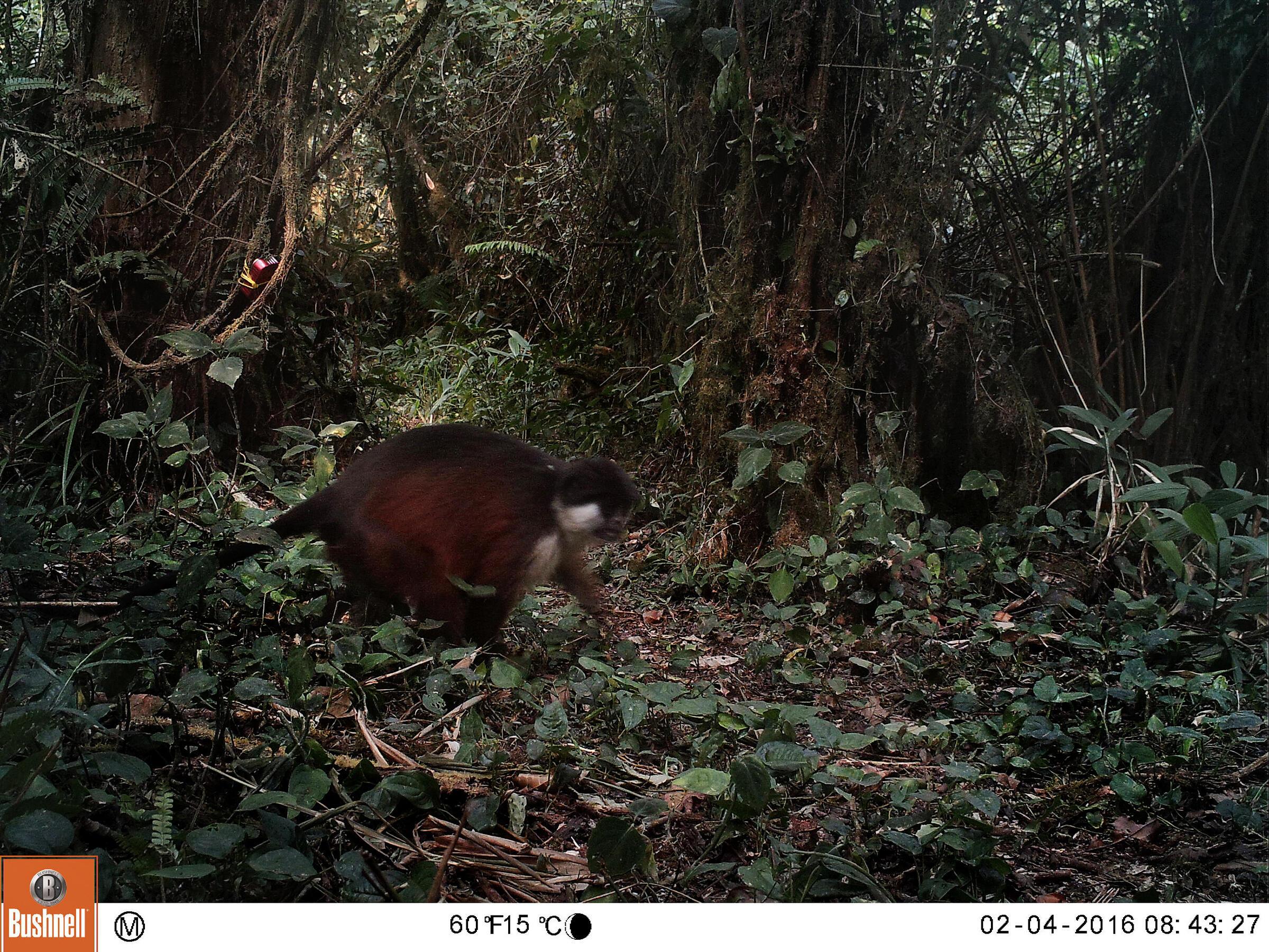 An endangered Pennant's red colobus. Kristin Brzeski