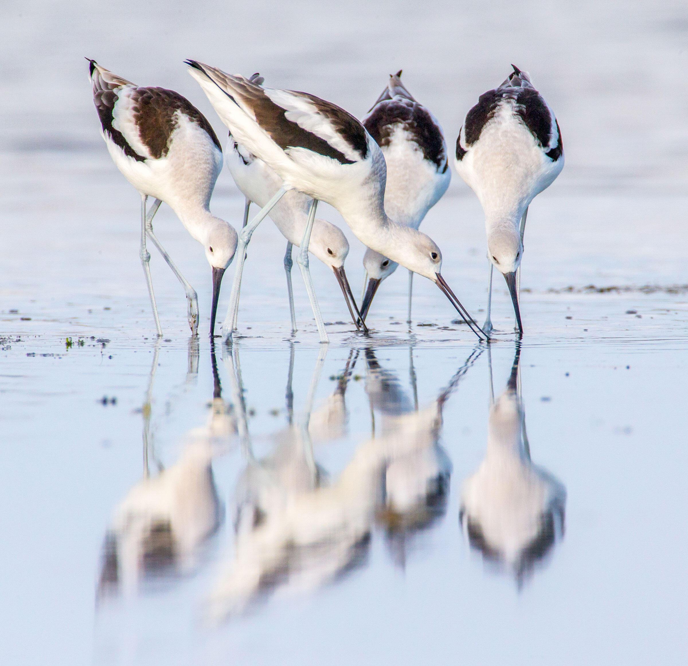 American Avocets/Professional Category. Mark Buckler/Audubon Photography Awards