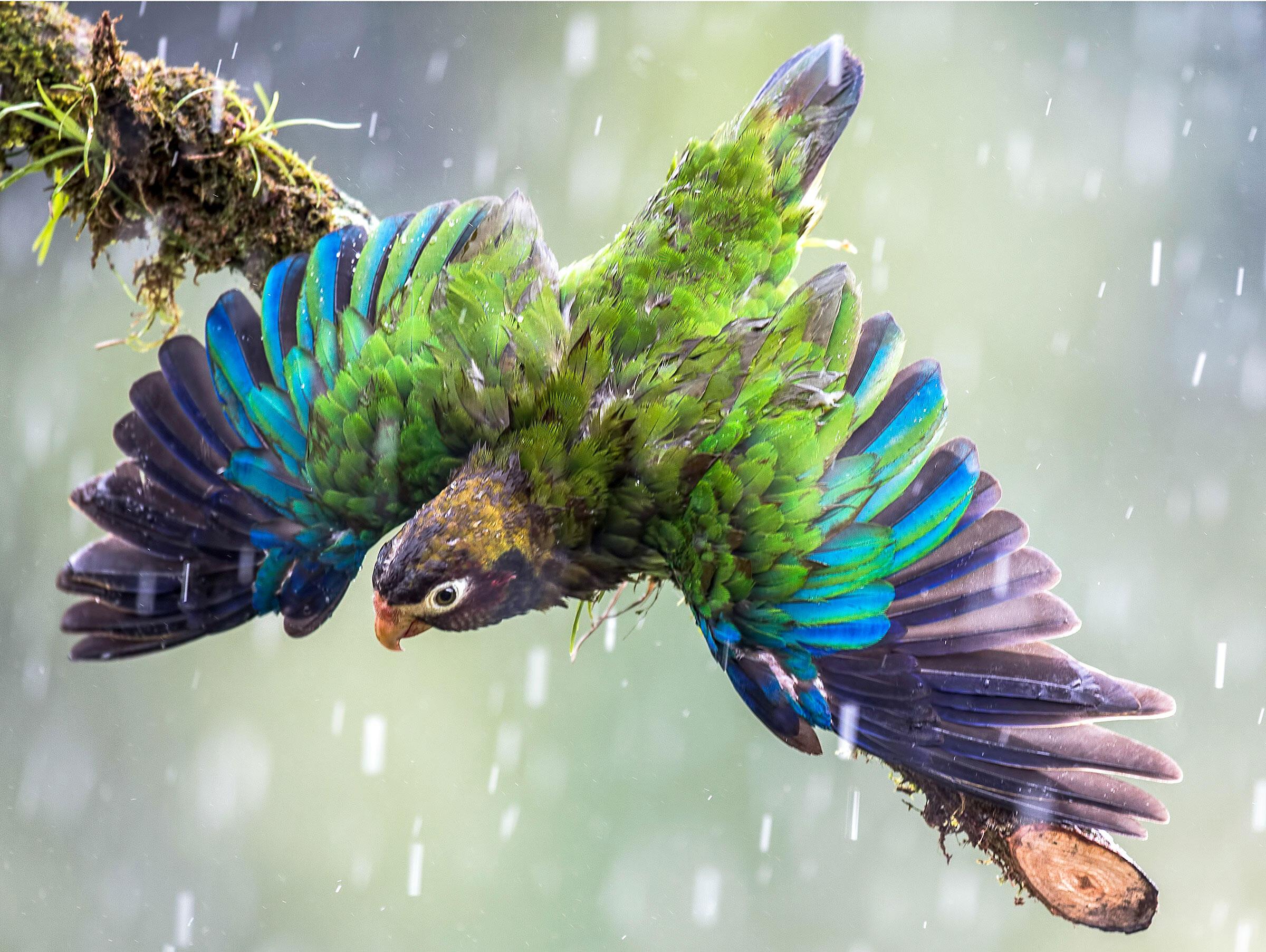 Brown-hooded Parrot/Amateur Category. Judylynn Malloch/Audubon Photography Awards