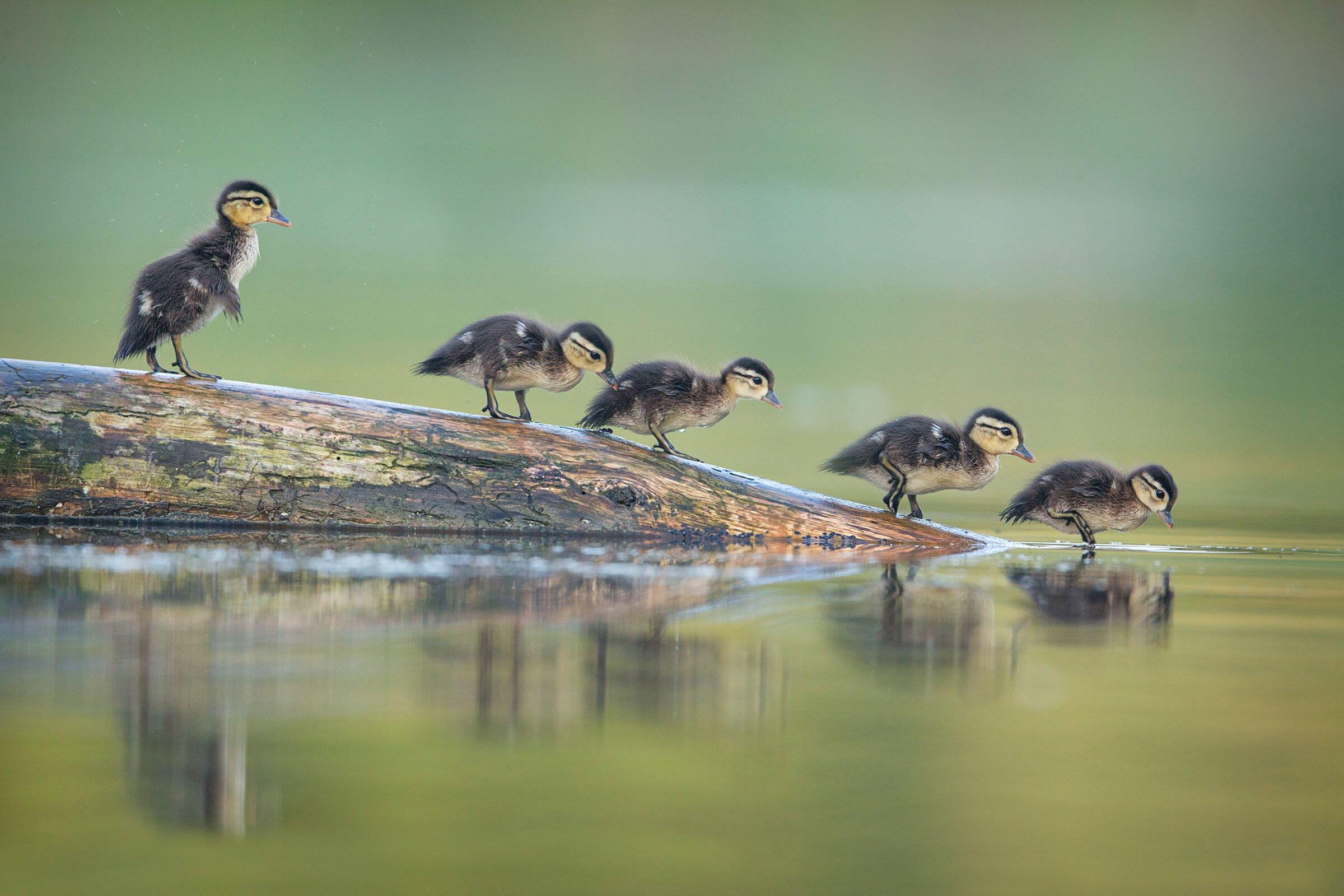 Wood Ducklings/Amateur Category. Christopher Schlaf/Audubon Photography Awards