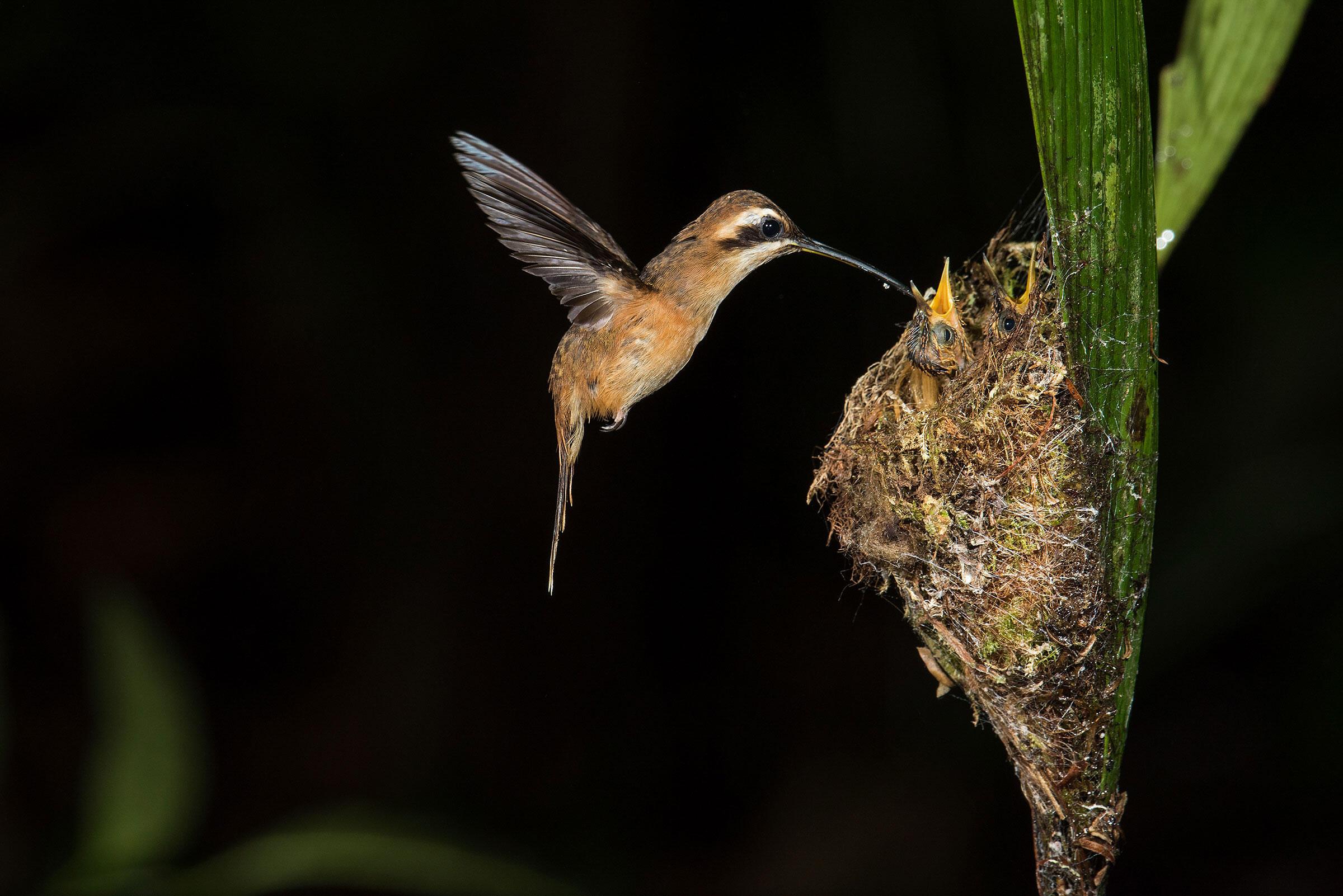 Stripe-throated Hermits/Professional Category. Aaron Baggenstos/Audubon Photography Awards