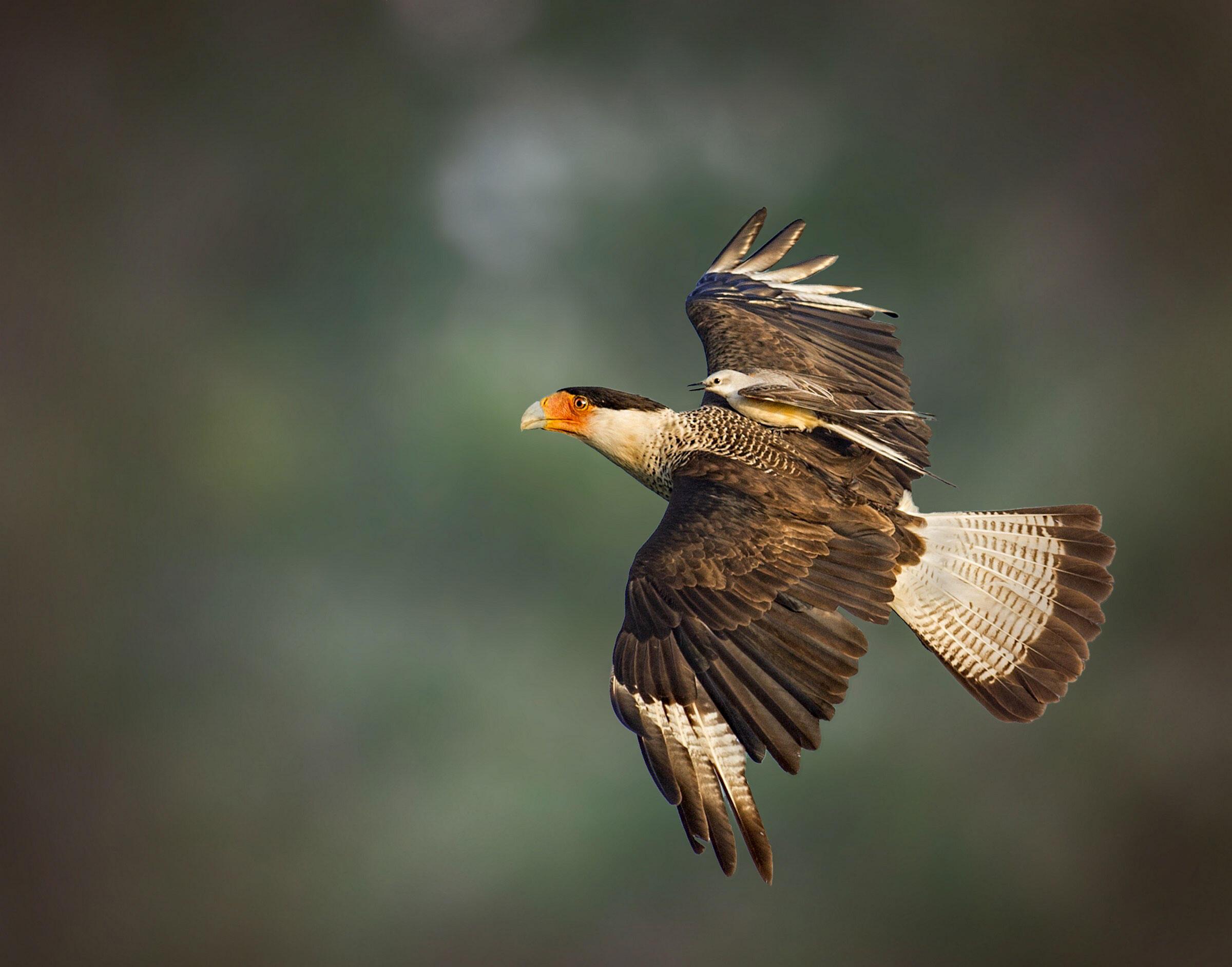 Crested Caracara and Scissor-tailed Flycatcher/Fine Art Category. Jerry Black/Audubon Photography Awards