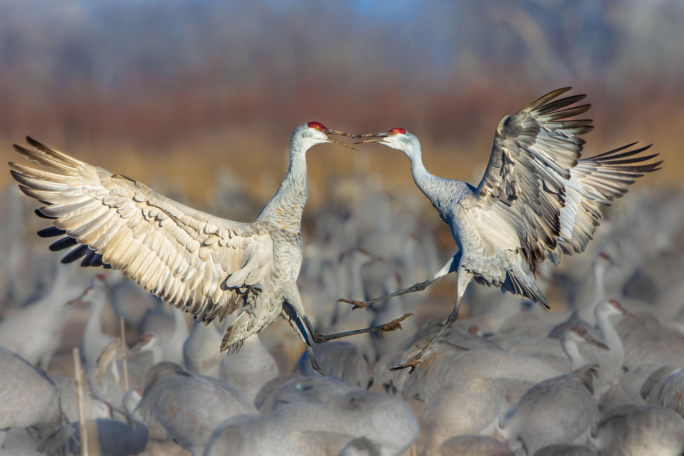 Sandhill Cranes/Amateur Category. Chokchai Leangsuksun/Audubon Photography Awards