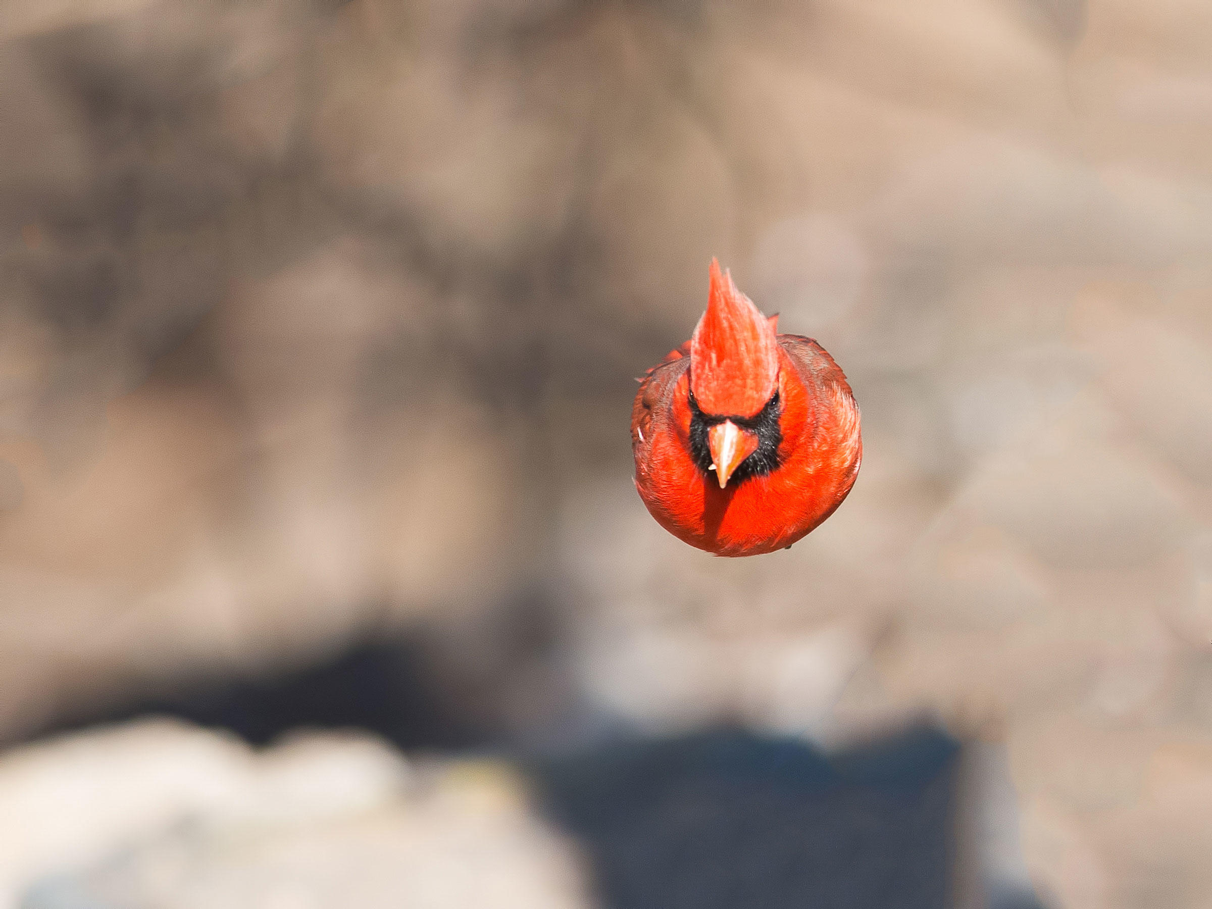 Northern Cardinal/Amateur Category. Brian Kushner/Audubon Photography Awards