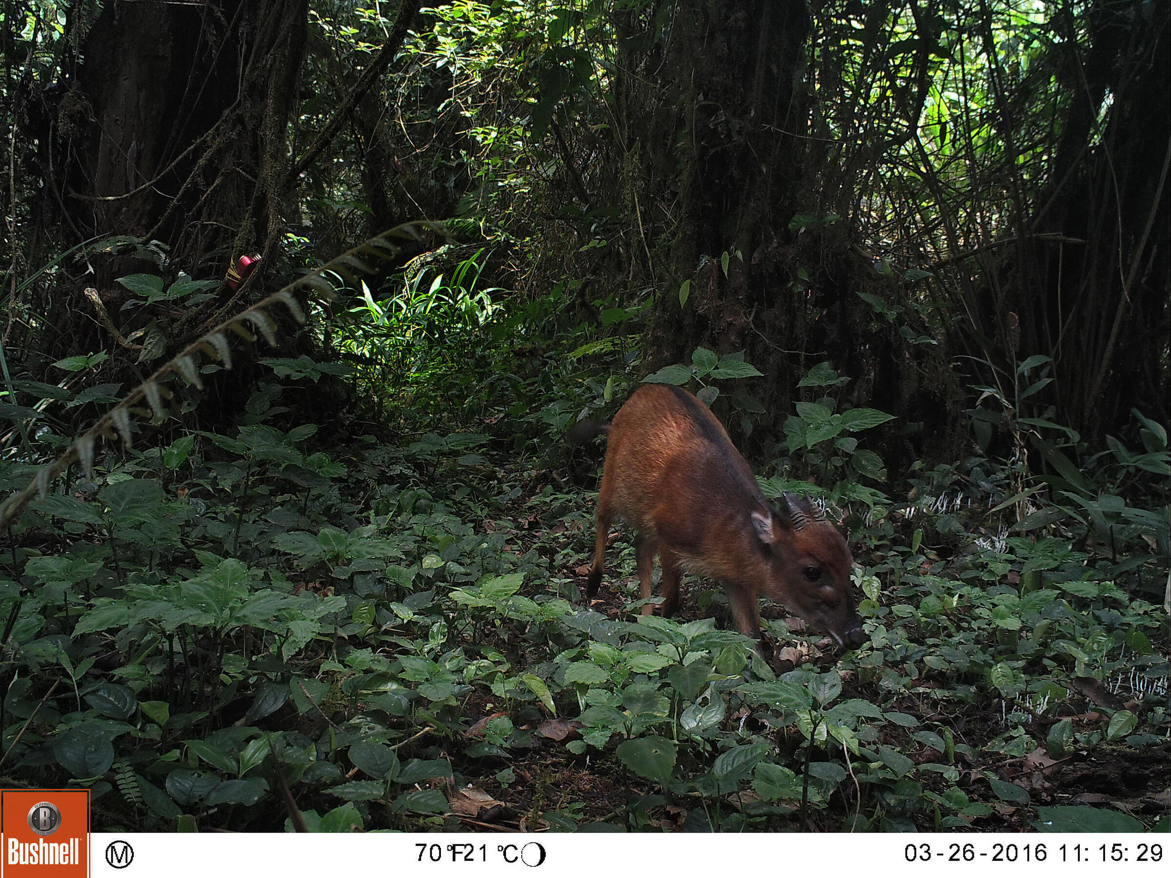 An Ogilby's duiker, a small forest antelope and one of two duiker species on Bioko. Kristin Brzeski