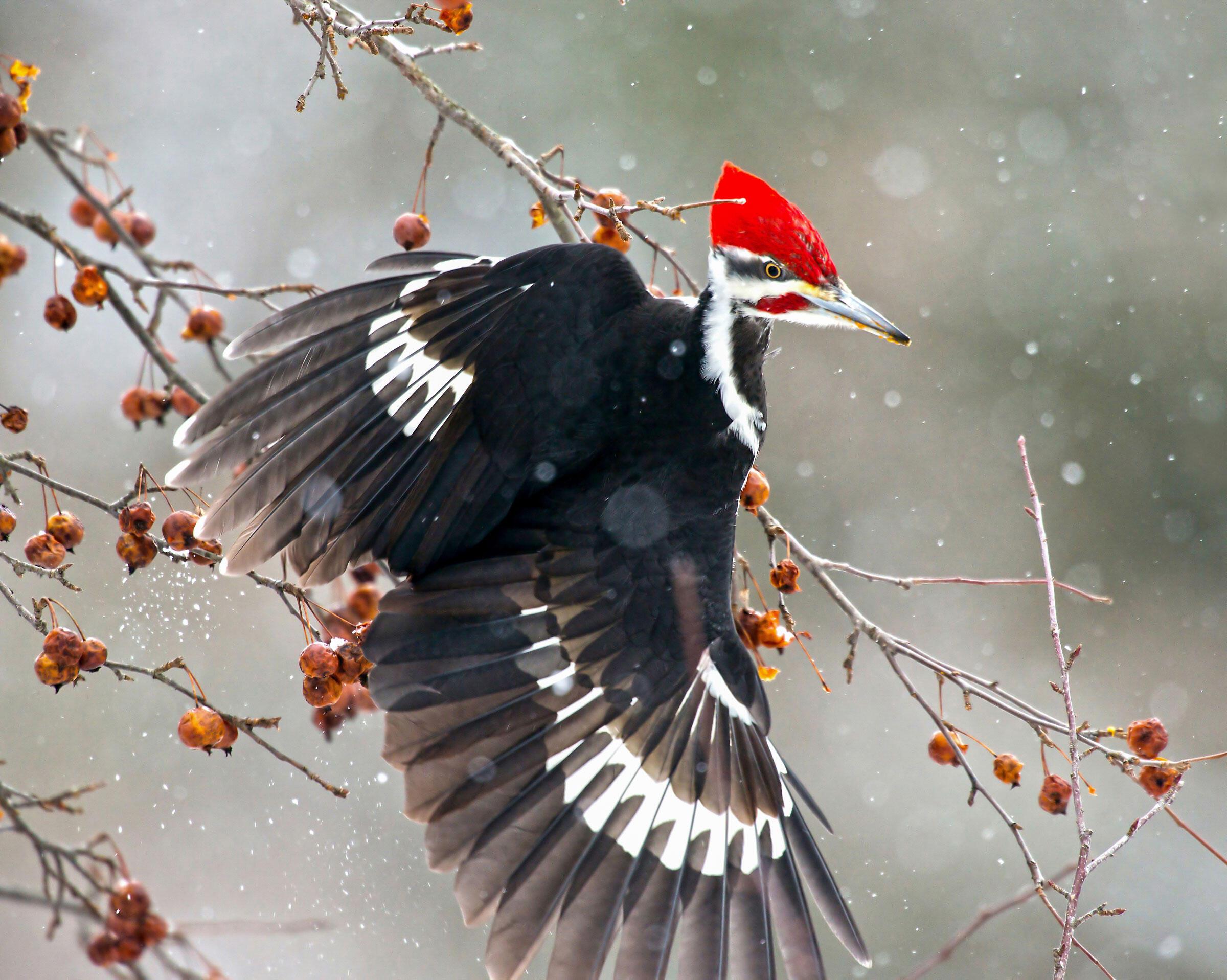 Pileated Woodpecker/Professional Category. Pamela Underhill Karaz/Audubon Photography Awards