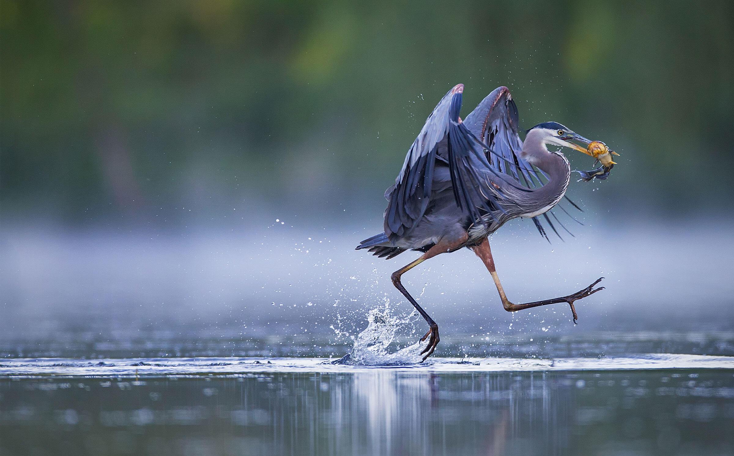 Great Blue Heron/Amateur Category. Christopher Schlaf/Audubon Photography Awards