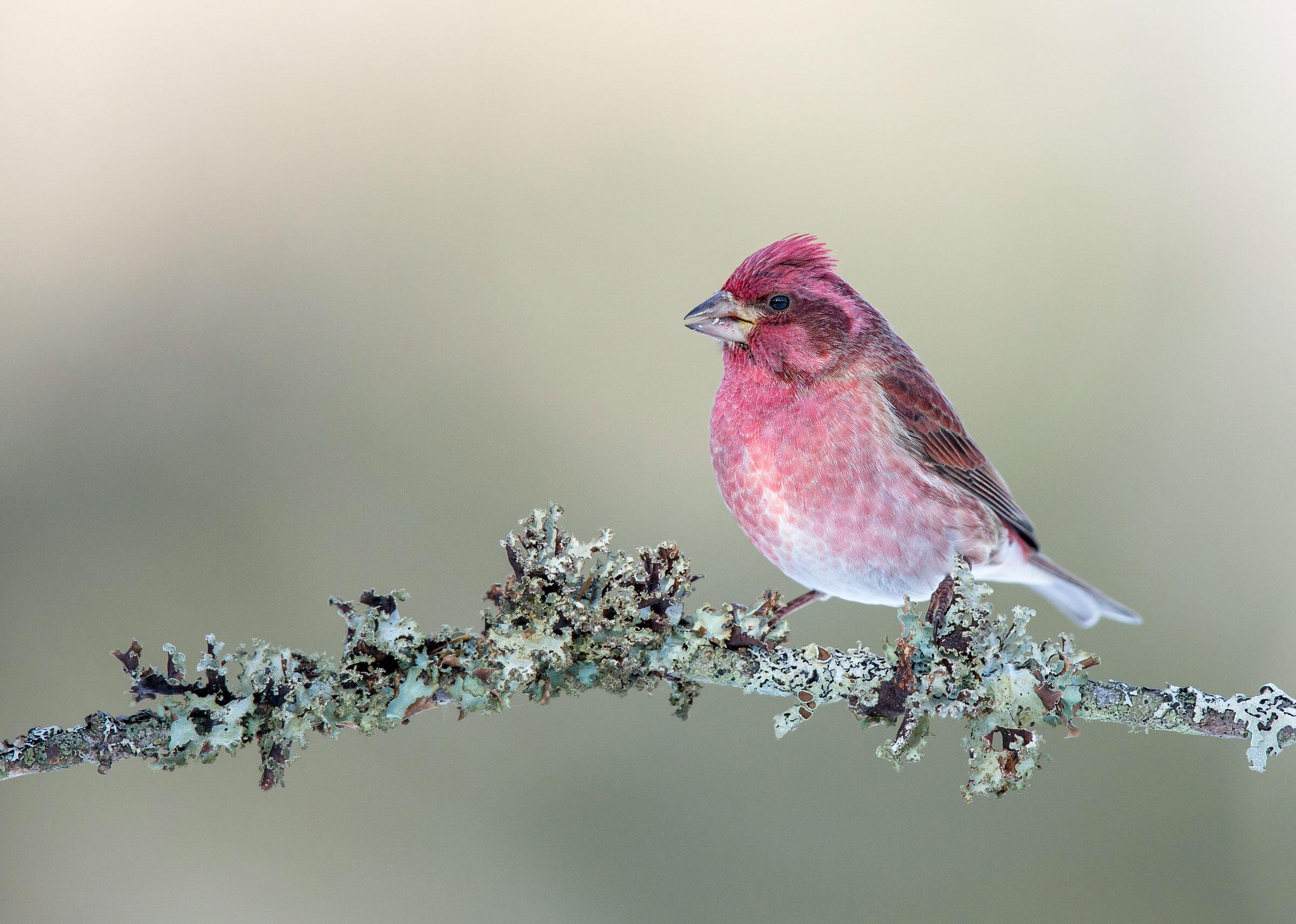 Purple Finch/Amateur Category. Gail Bisson/Audubon Photography Awards