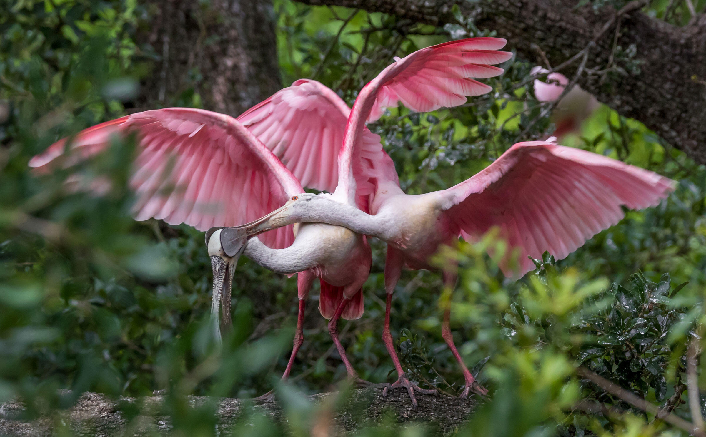 Roseate Spoonbils/Amateur Category. Jean Hall/Audubon Photography Awards