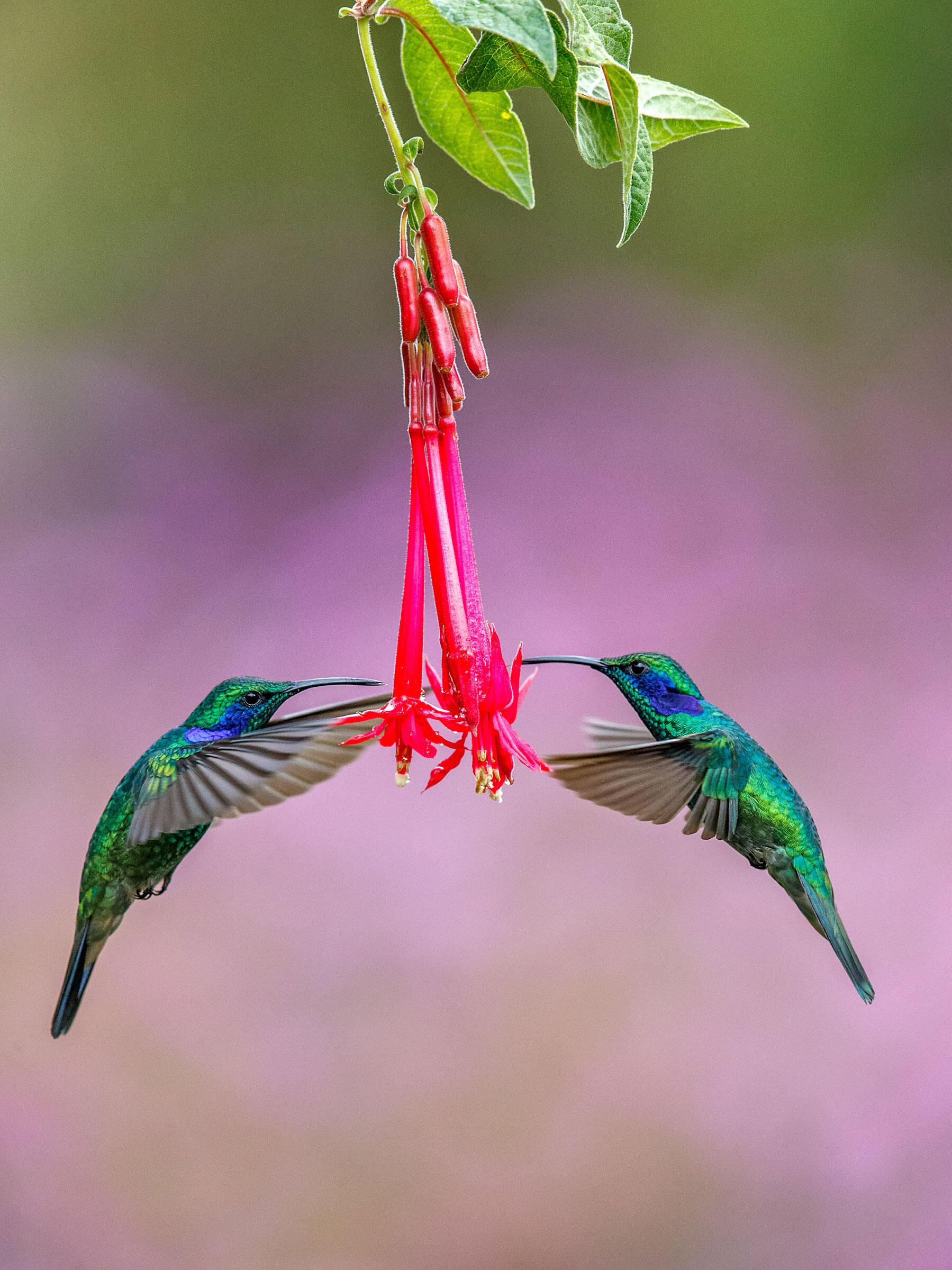 Green Violetears/Amateur Category. Michael Cohen/Audubon Photography Awards