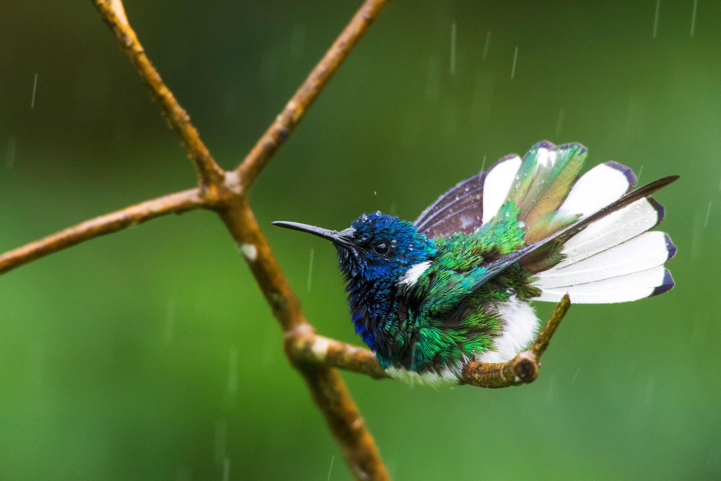 White-necked Jacobin/Professional Category. Ken Archer/Audubon Photography Awards