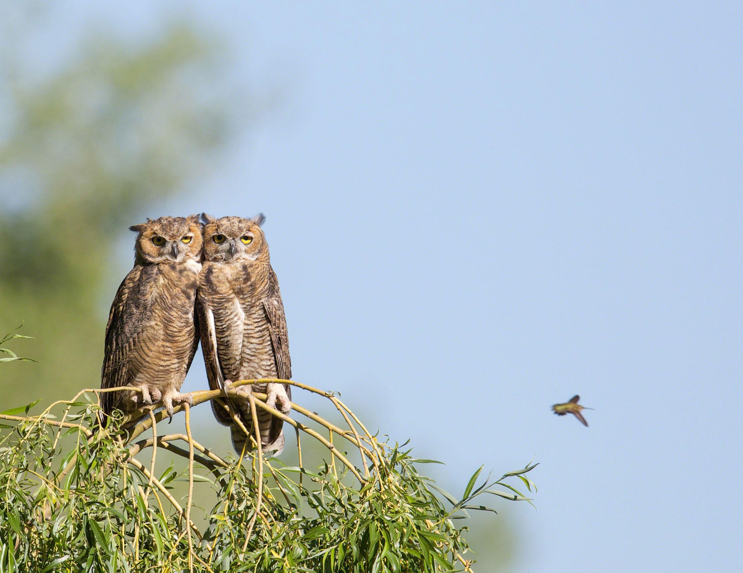 Great Horned Owls and Black-chinned Hummingbird/Professional Category. Ed Mackerrow/Audubon Photography Awards