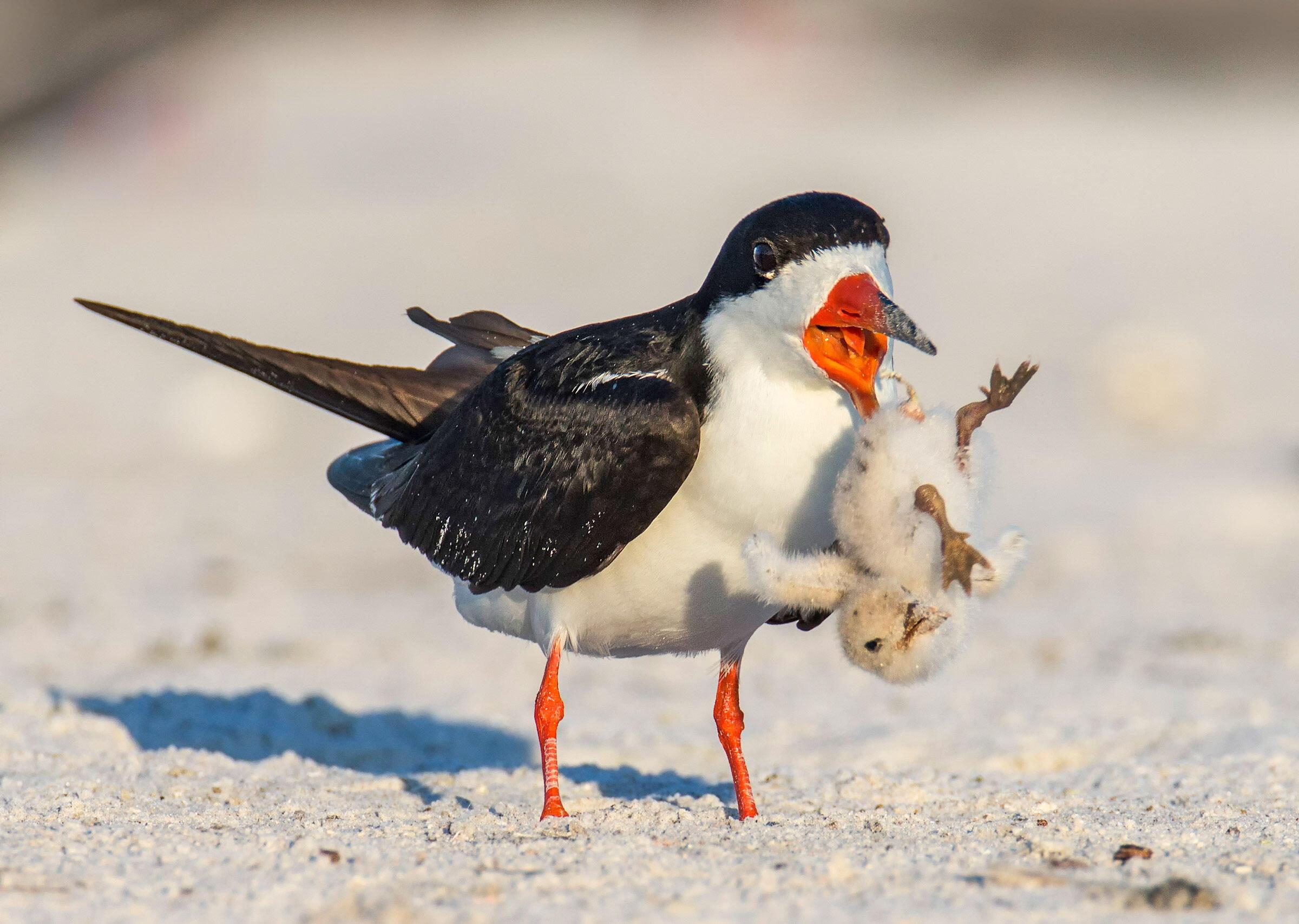 Black Skimmer/Amateur Category. Amy Marques/Audubon Photography Awards