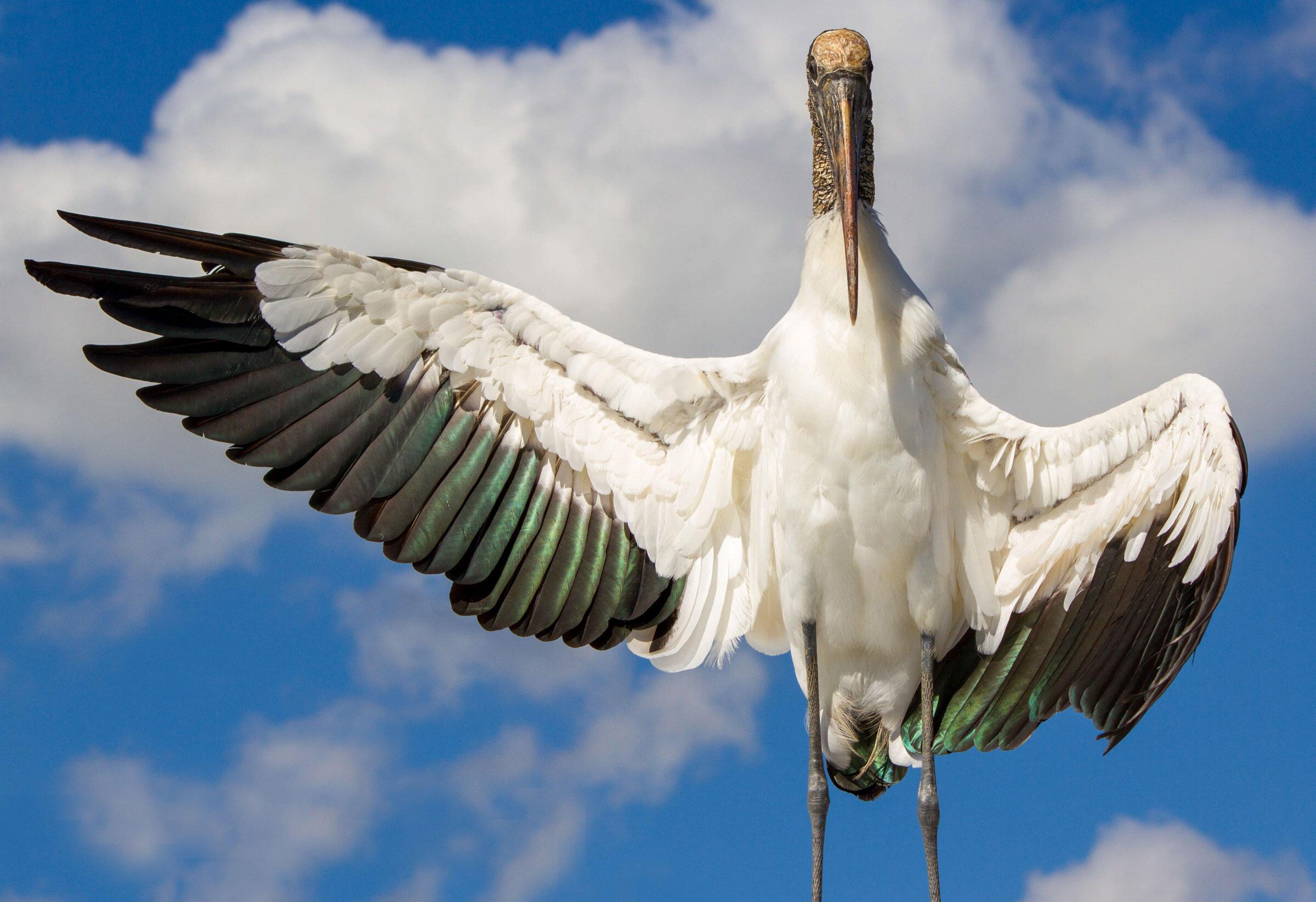 Wood Stork/Amateur Category. Richard Johnson/Audubon Photography Awards