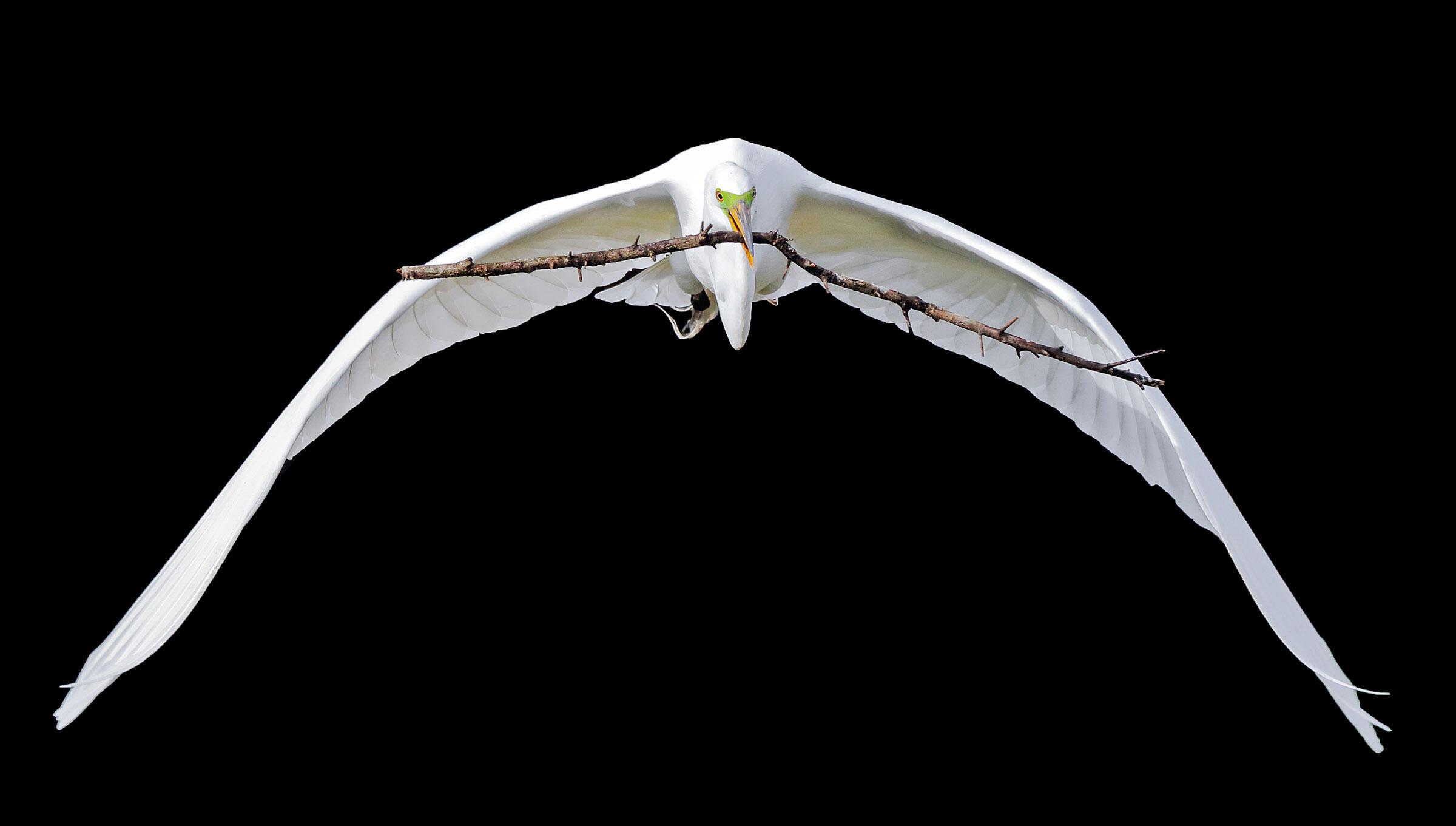 Great Egret/Fine Art Category. Veronique Viardin/Audubon Photography Awards