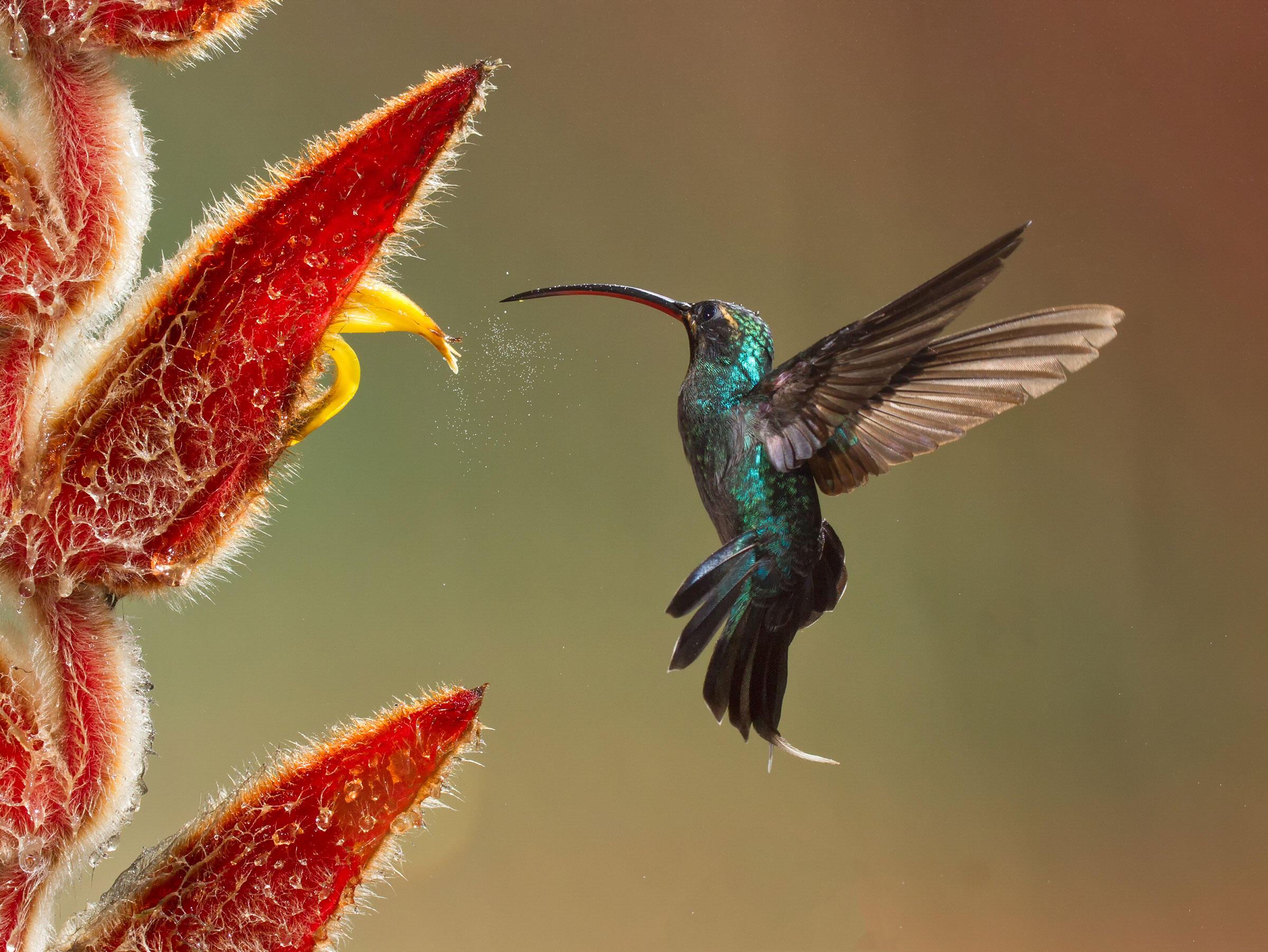Green Hermit/Amateur Category. Cathy Desrochers/Audubon Photography Awards