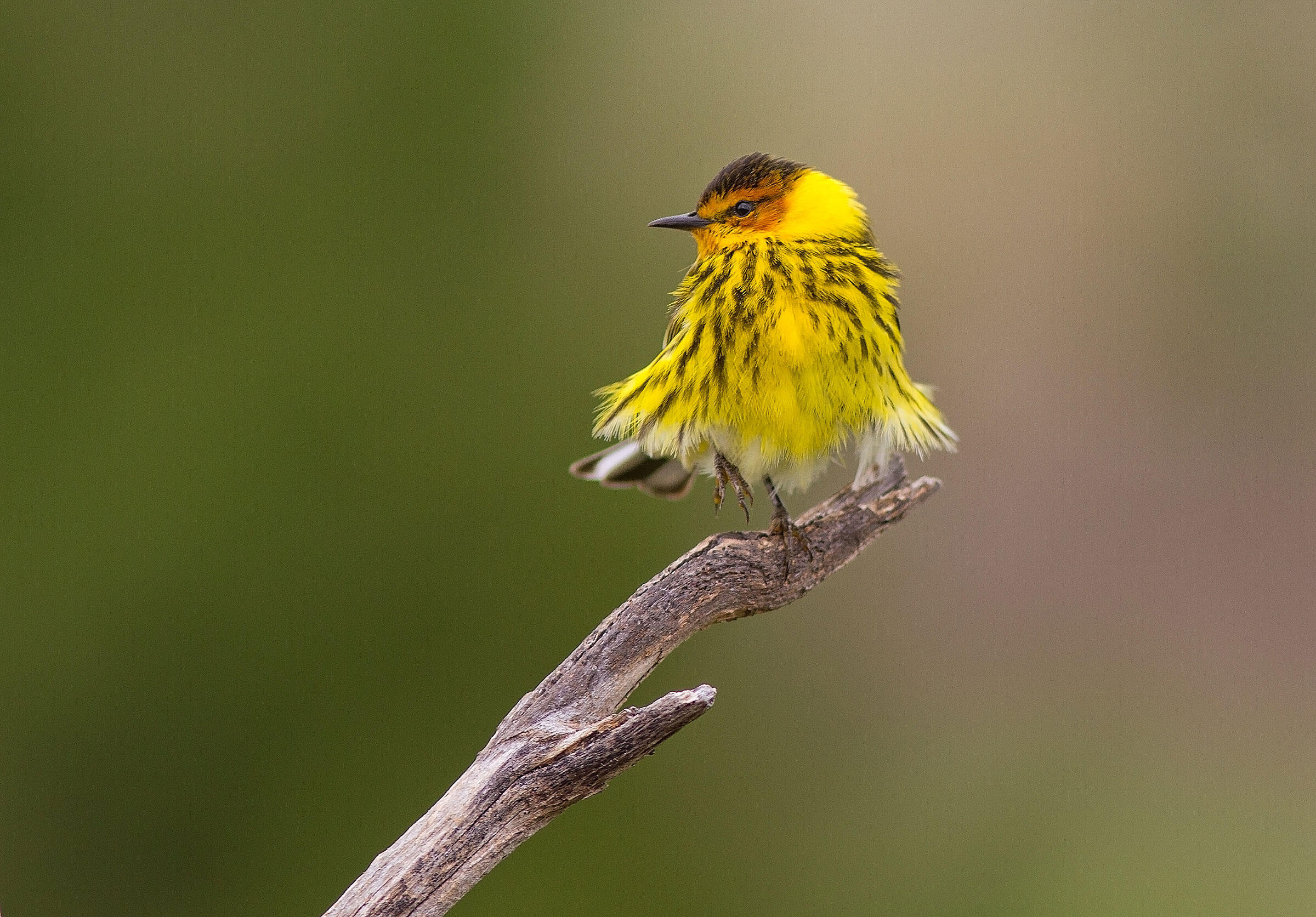 Cape May Warbler/Amateur Category. L.E. Swanson/Audubon Photography Awards