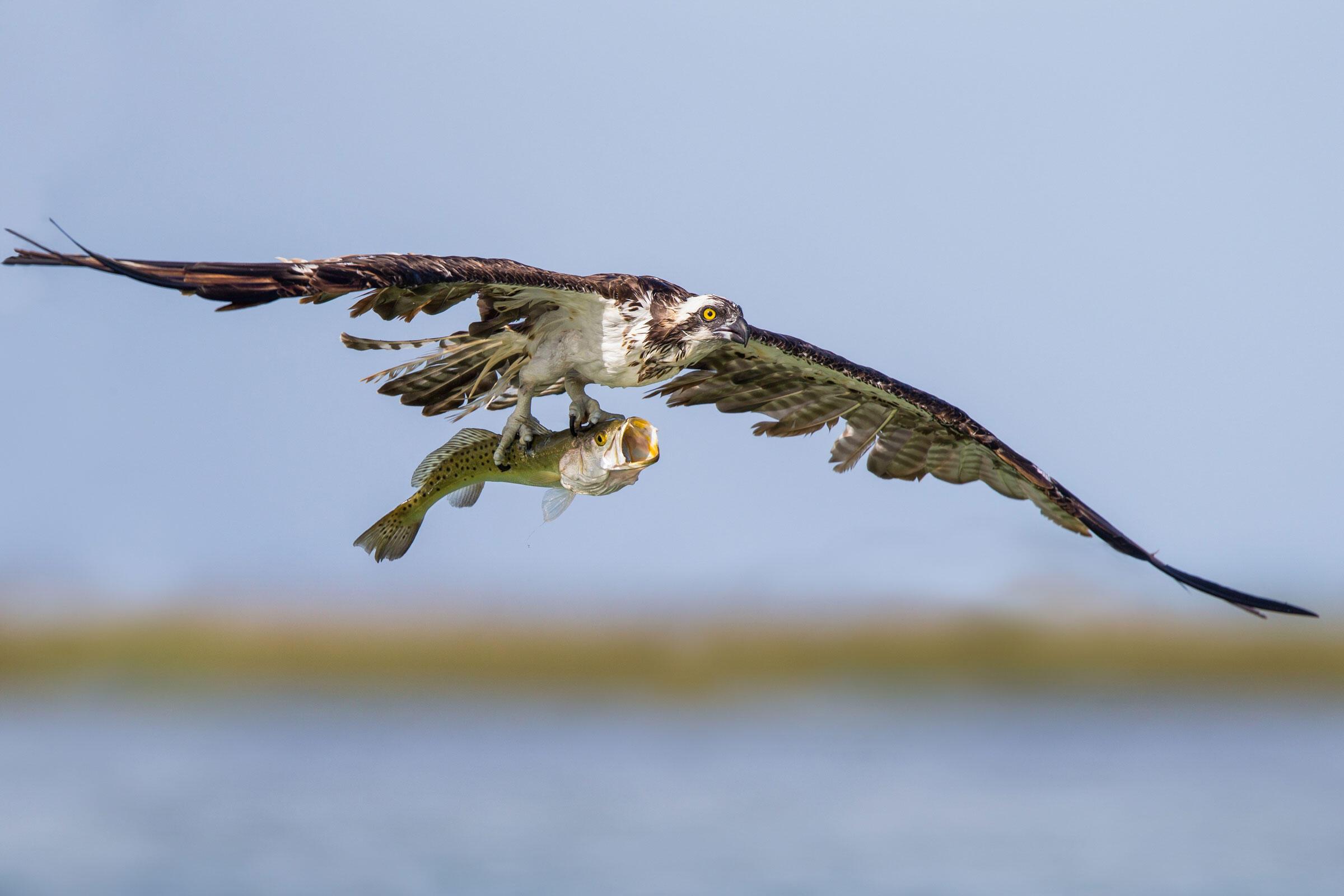 Osprey/Amateur Category. Thomas Chadwick/Audubon Photography Awards