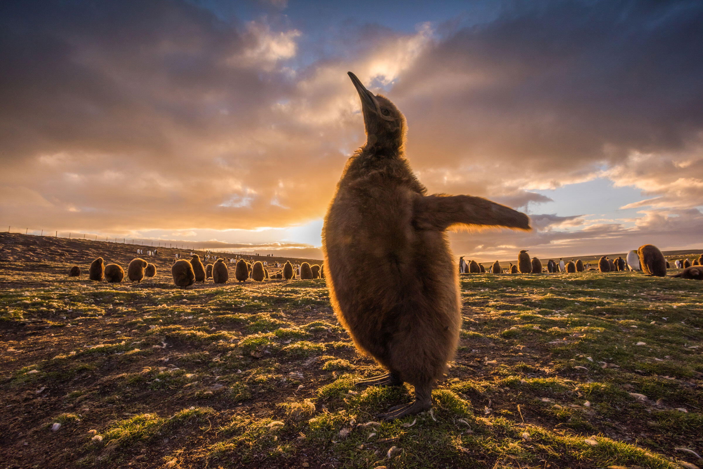 King Penguins/Amateur Category. Sean Crane/Audubon Photography Awards