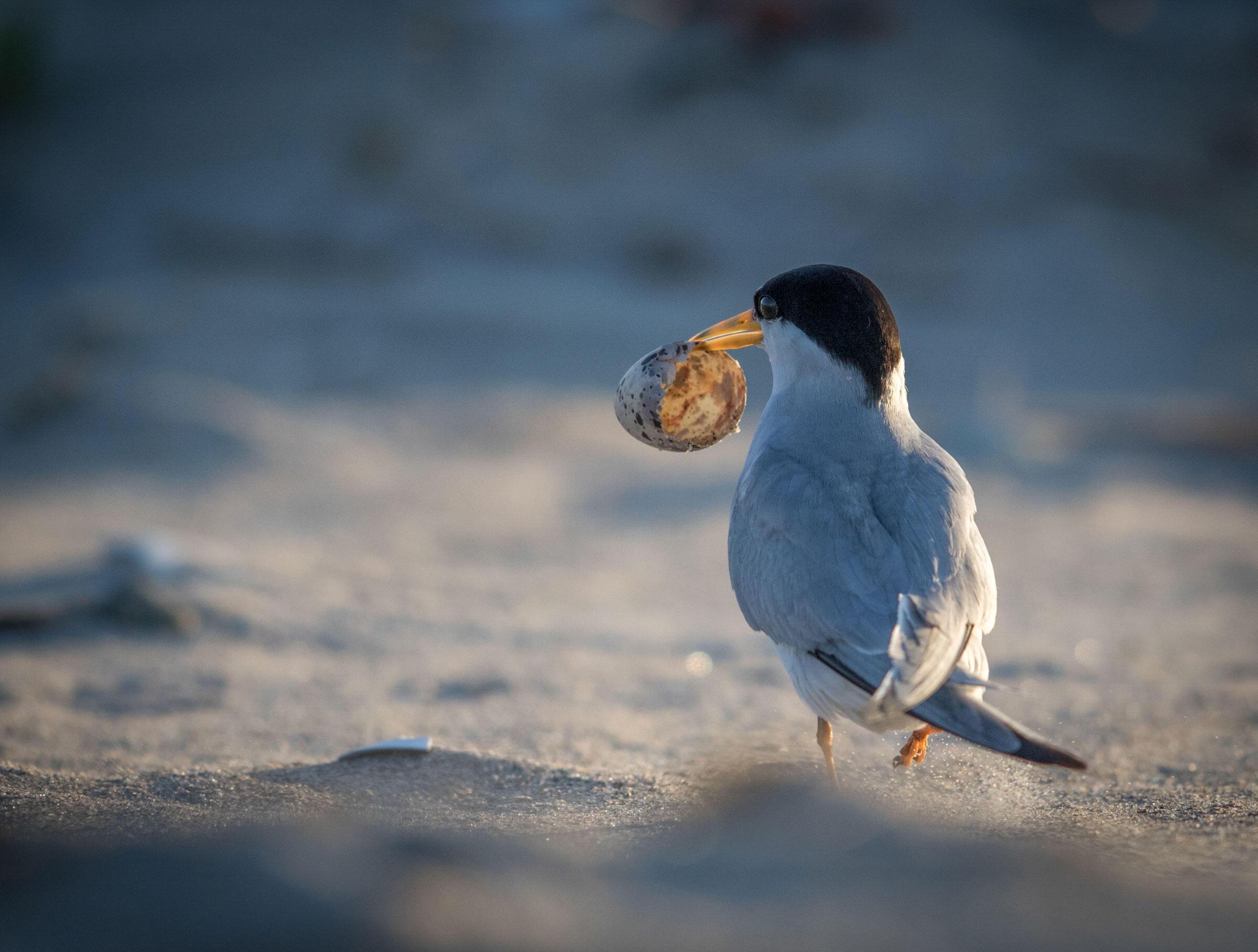 Least Tern/Amateur Category. Eric Swanzey/Audubon Photography Awards