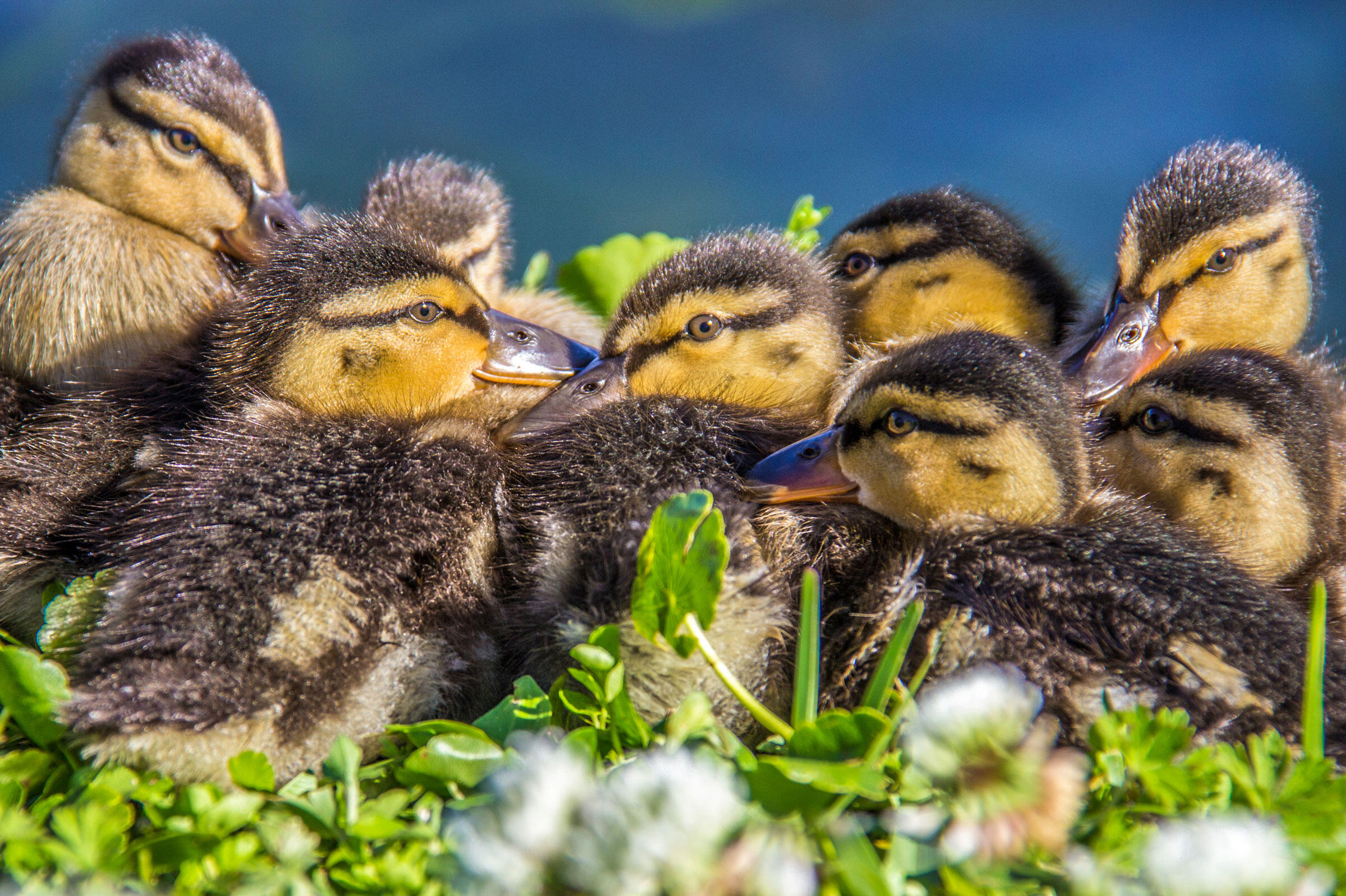 Ducklings/Amateur Category. Terry Godbey/Audubon Photography Awards