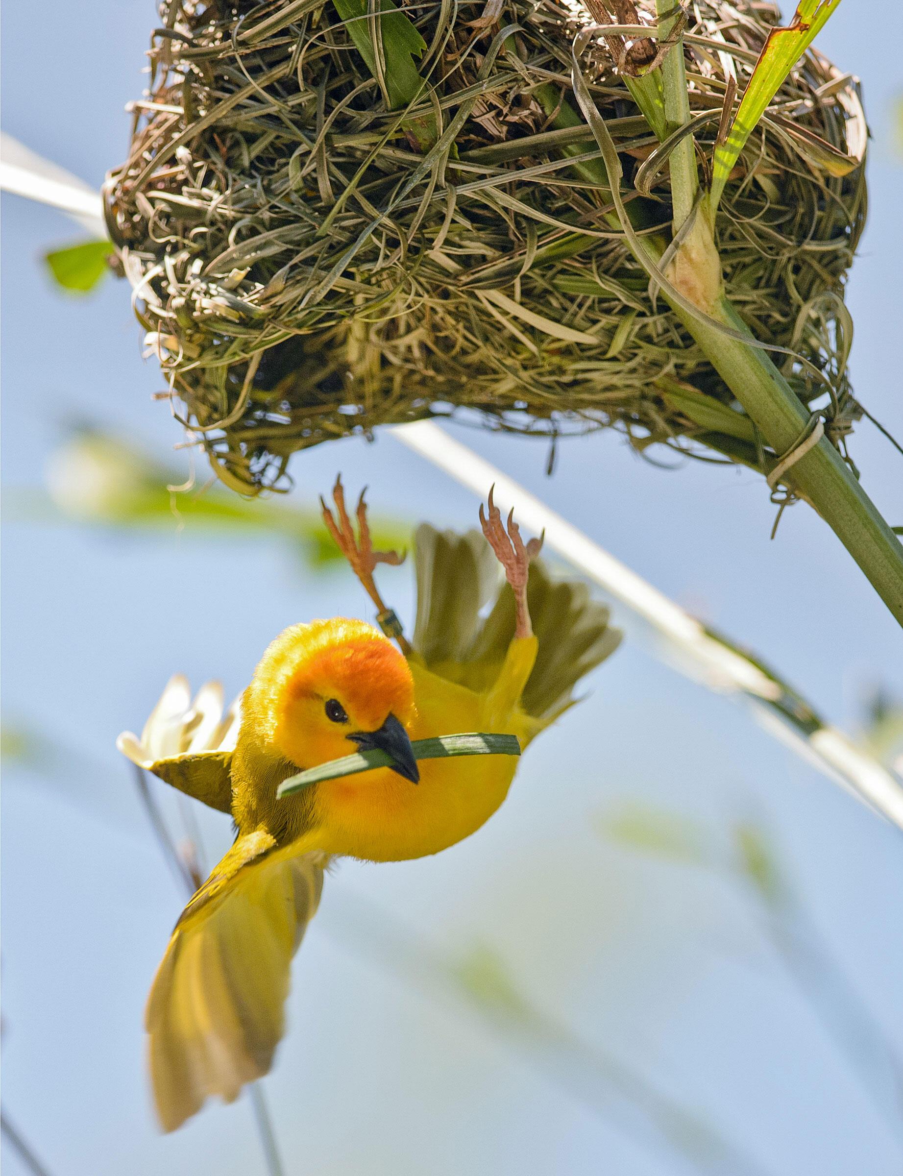 Taveta Golden Weaver/Professional Category. Tom Warren/Audubon Photography Awards