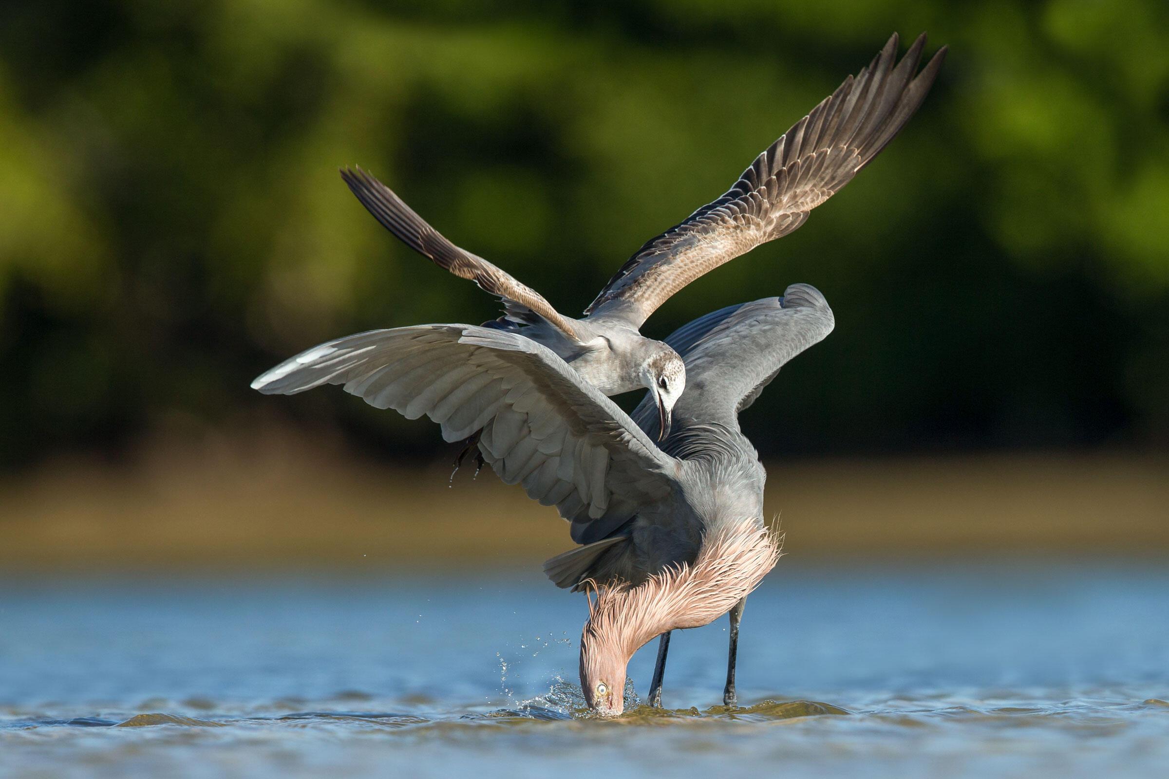 Reddish Egret and Laughing Gull/Amateur Category. Thomas Chadwick/Audubon Photography Awards